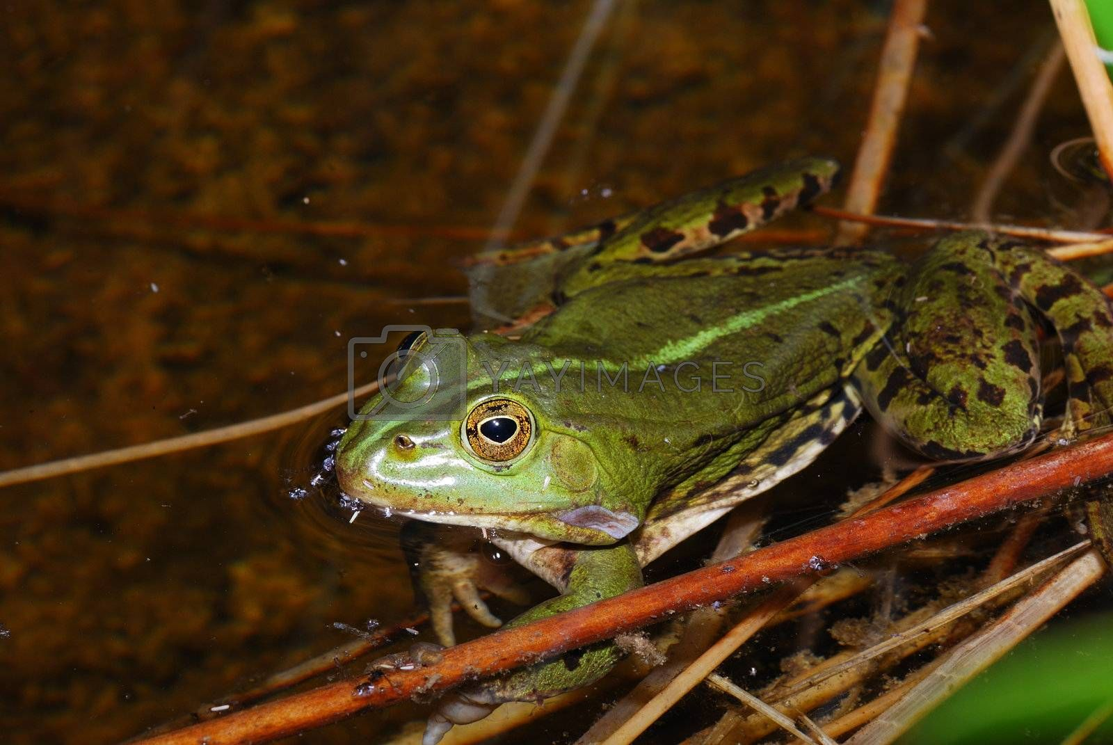 green frog sitting in water of pond in summer