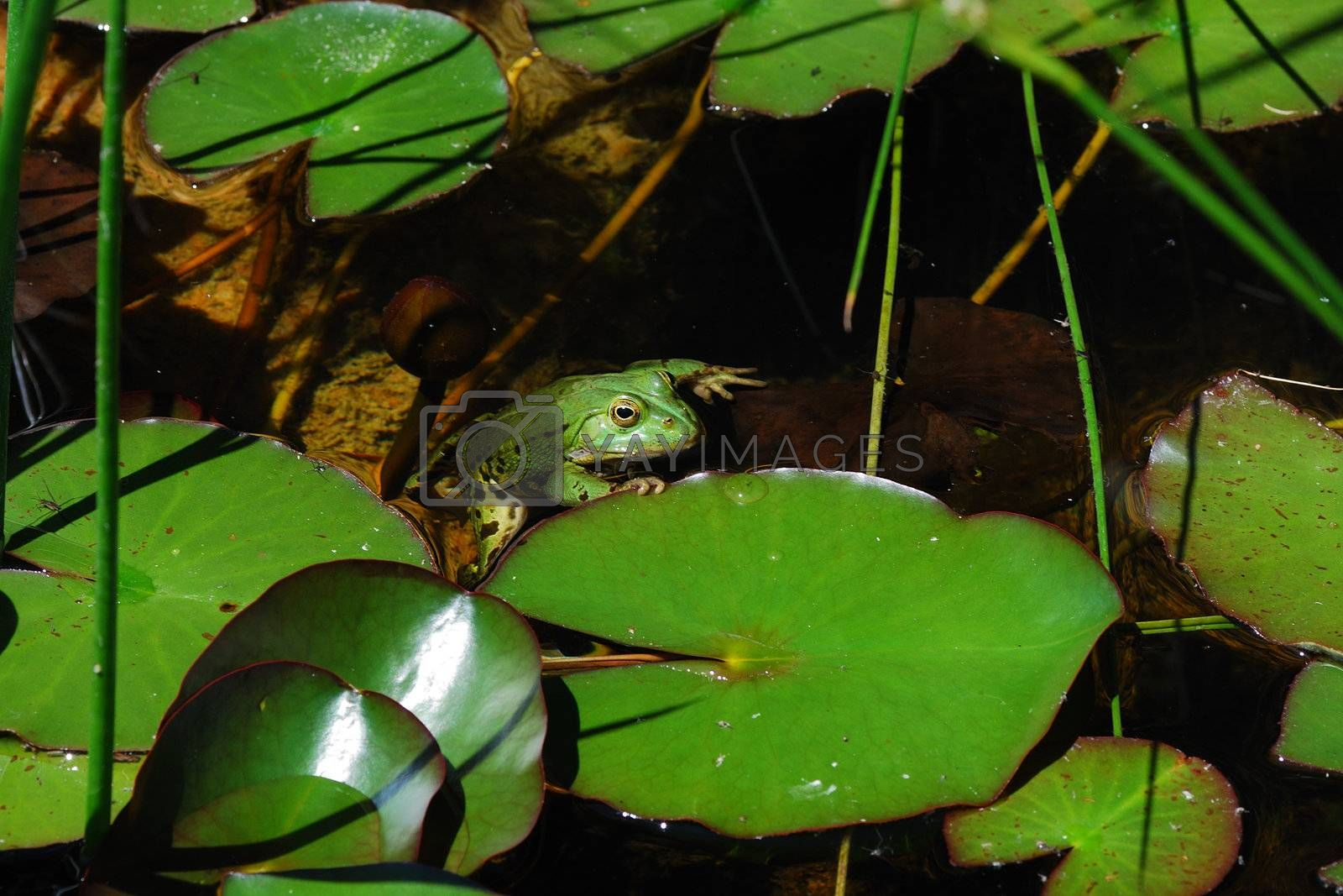little green frog in many scroll on lake