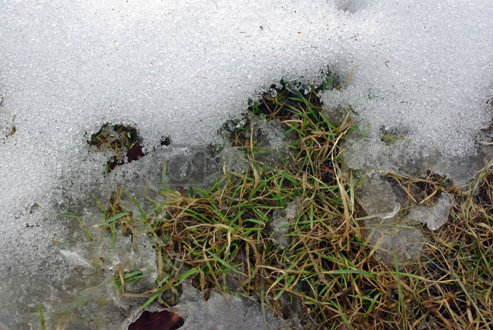Young grass among dry one with snow melting away.