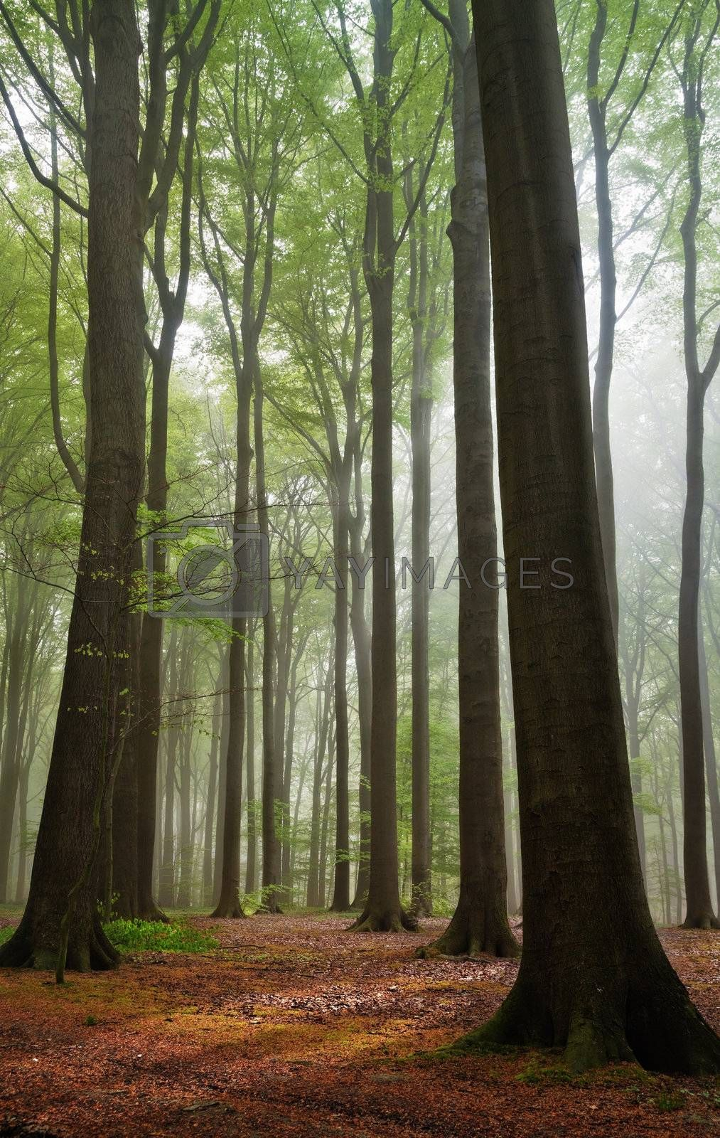 scenic view on summer forest in a misty moring