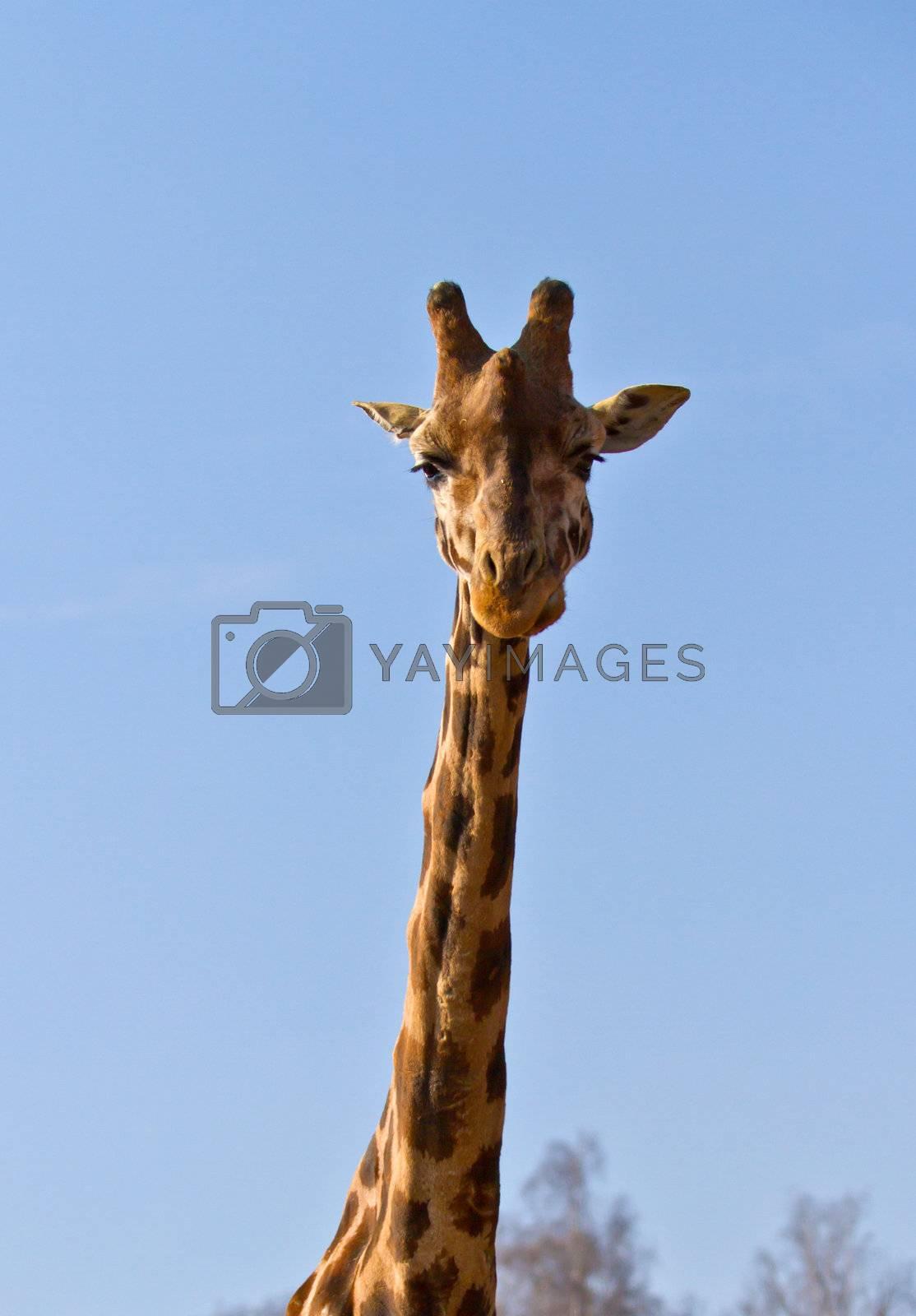 Funny giraffe's face