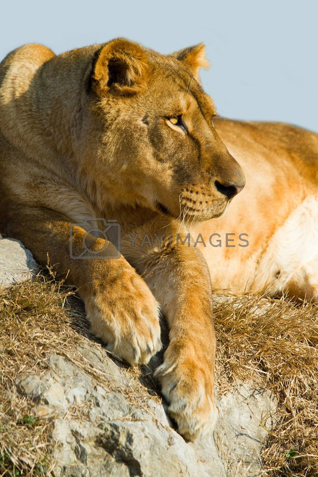 Royalty free image of Lioness  by lsantilli