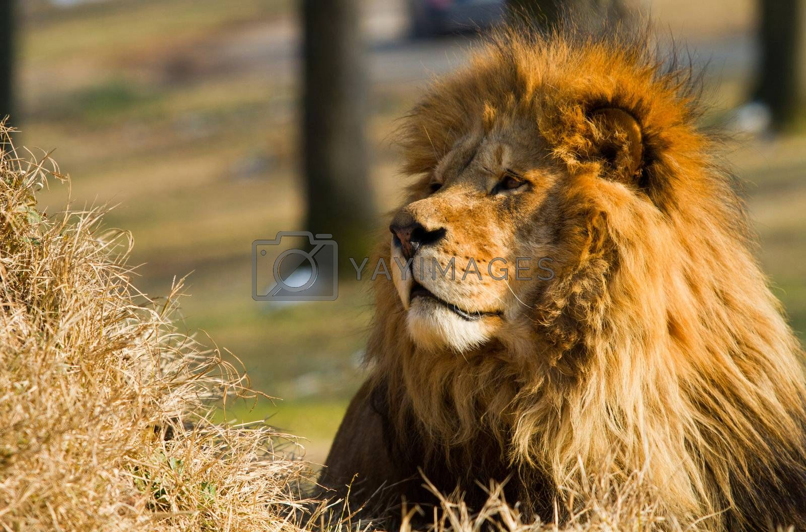 Royalty free image of Lion the king by lsantilli