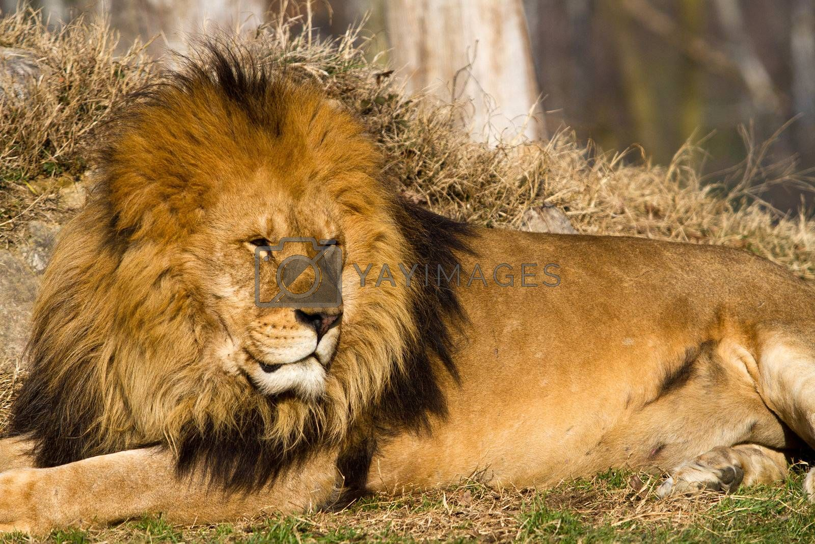 profile of a relaxed African lion staring in the zoo