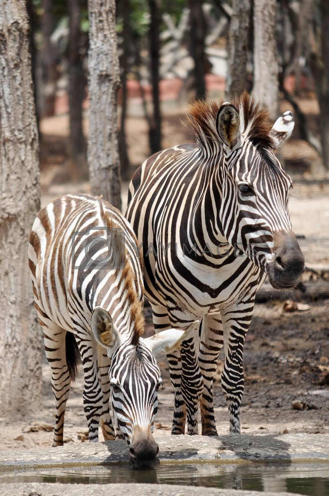 The unique stripes of zebras make these among the animals most familiar to people.