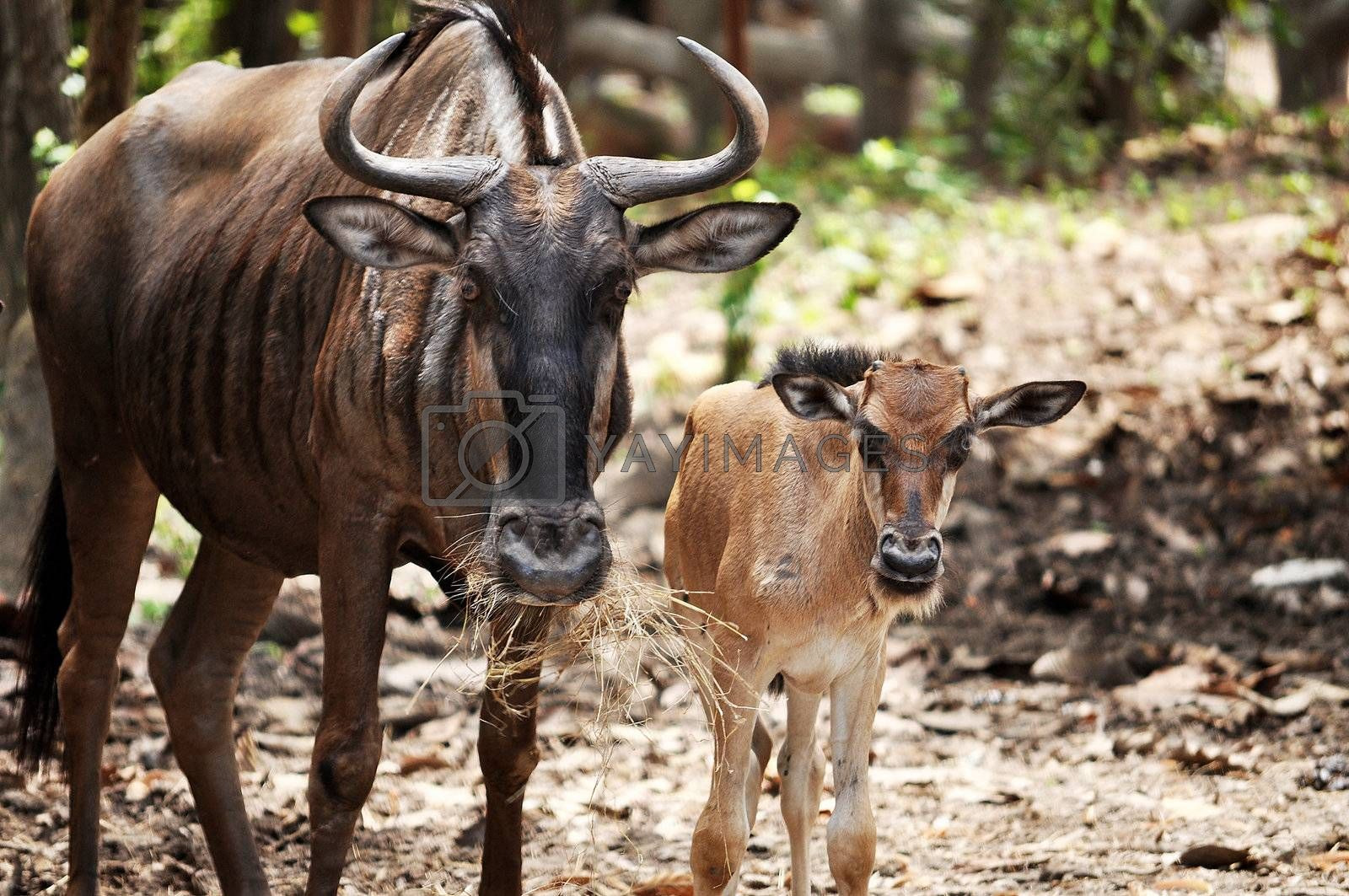 Young Blue Wildebeest are born tawny brown, and begin to take on their adult colouration at age nine weeks.