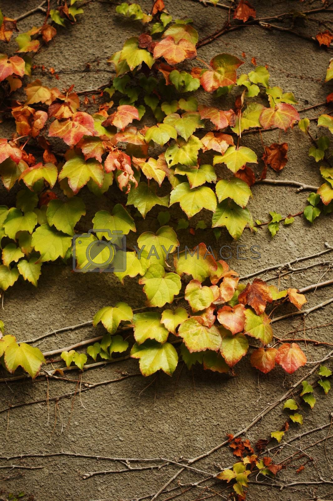 Autumn time: Old wall with ivy plant