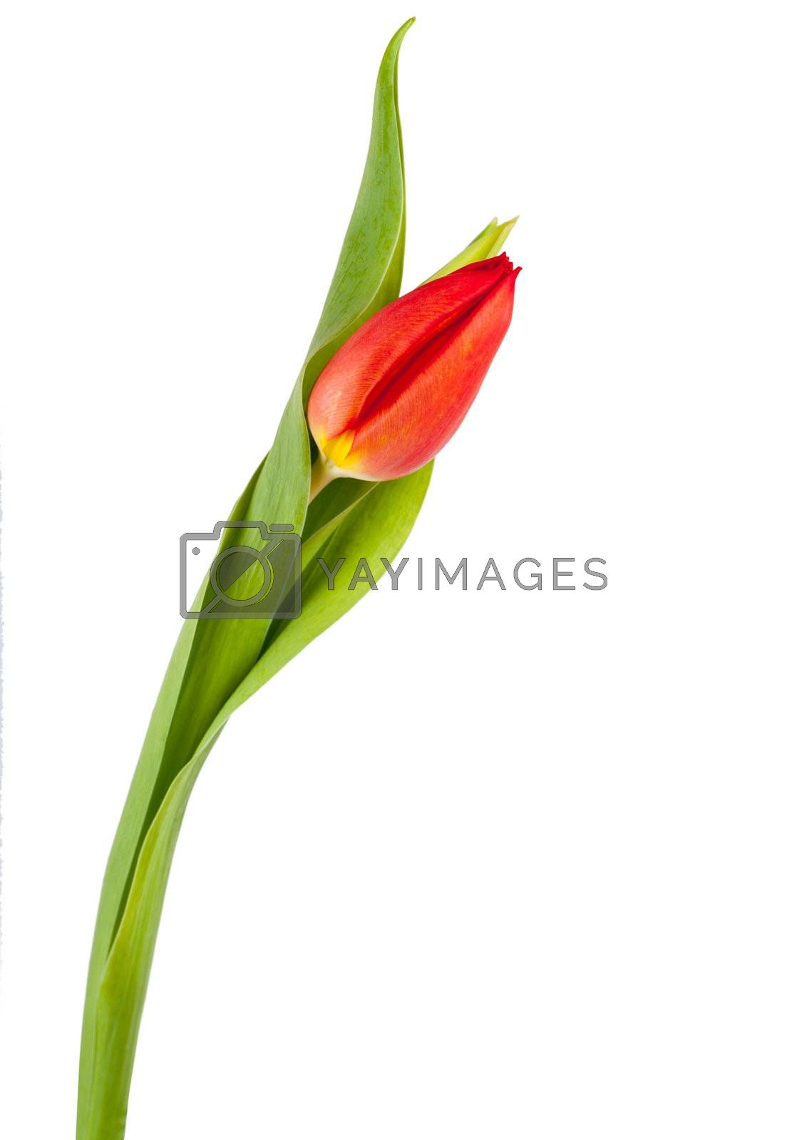 Fresh single tulip isolated over white background