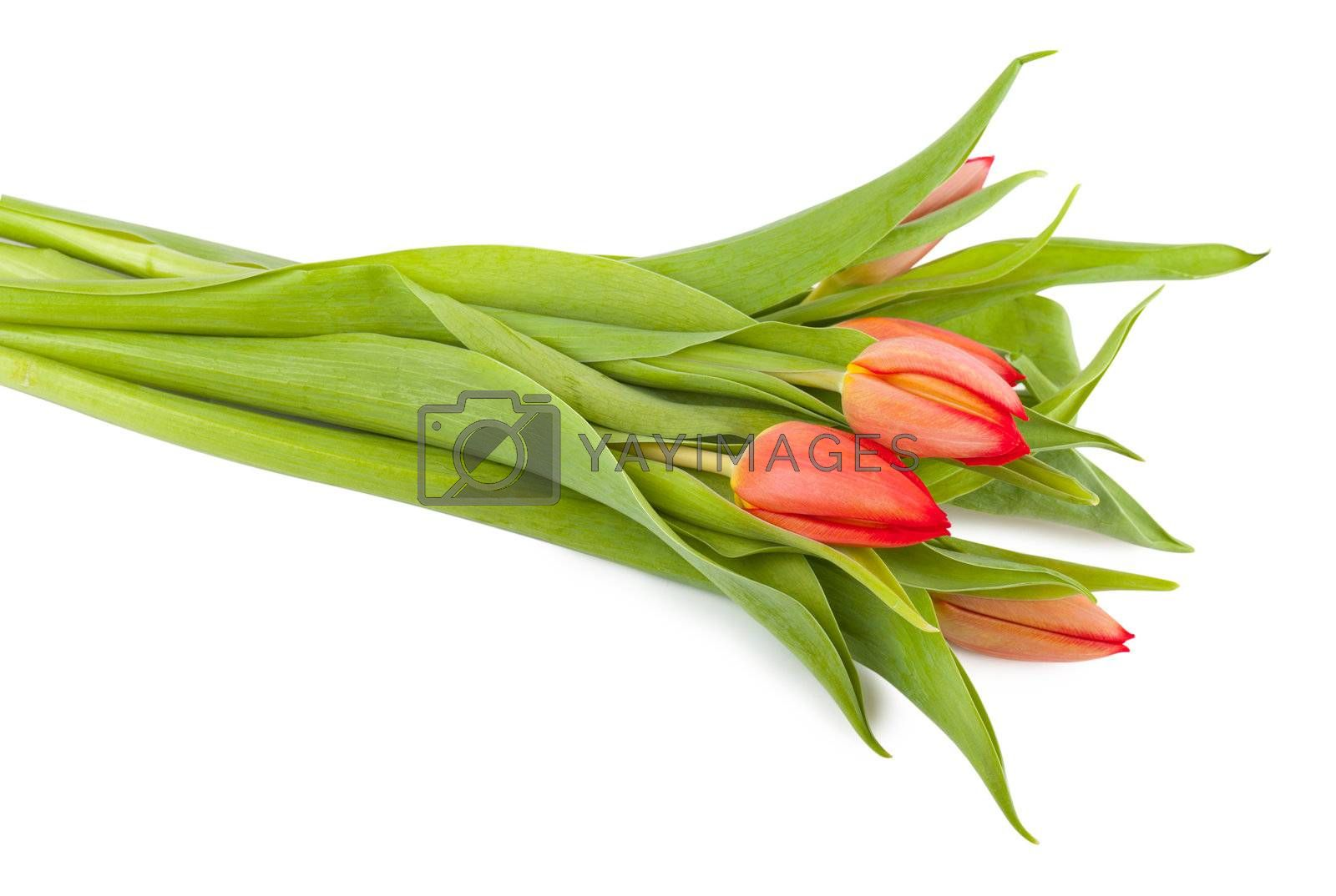 Fresh bouquet of tulips isolated over white background