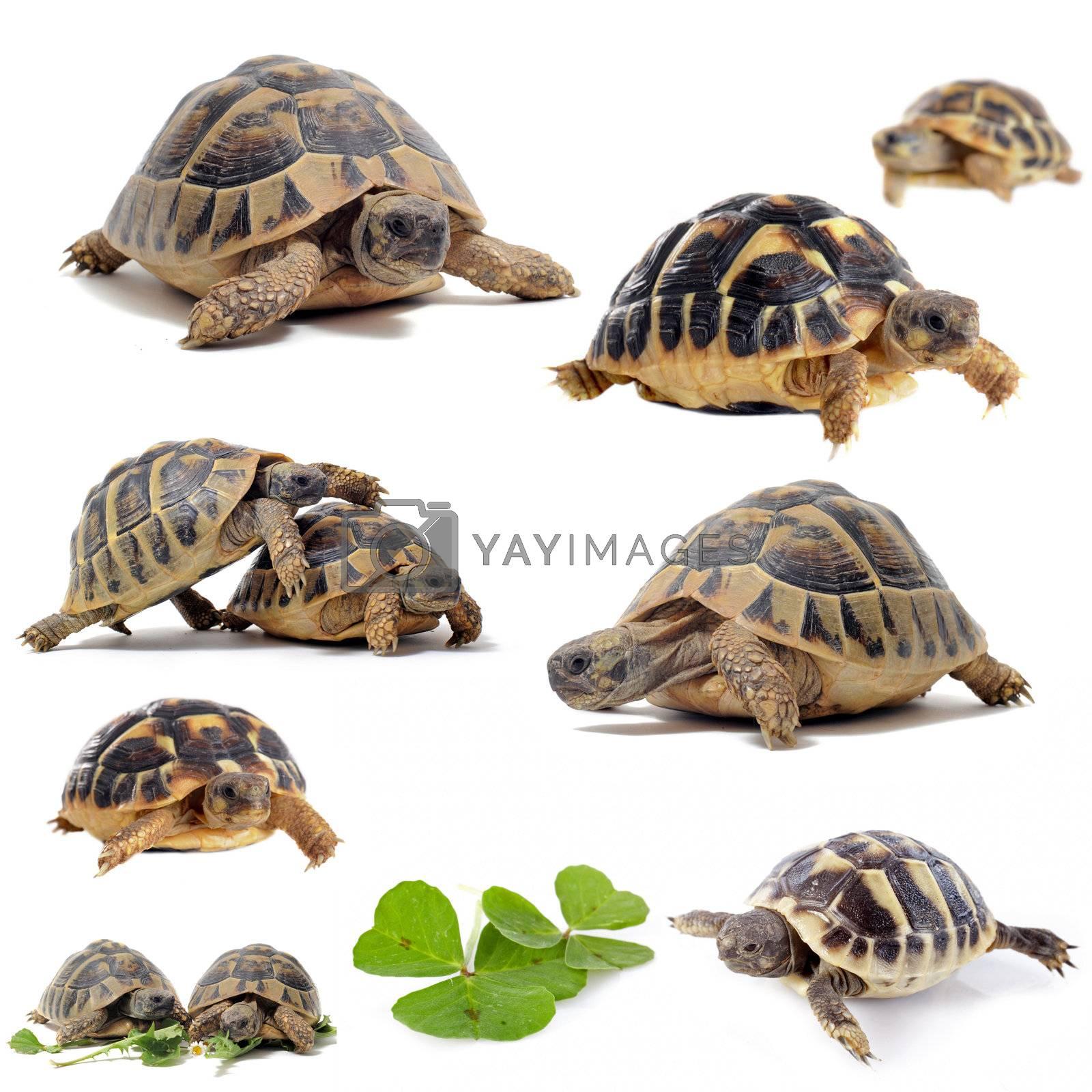 group of  Testudo hermanni tortoises on a white isolated background