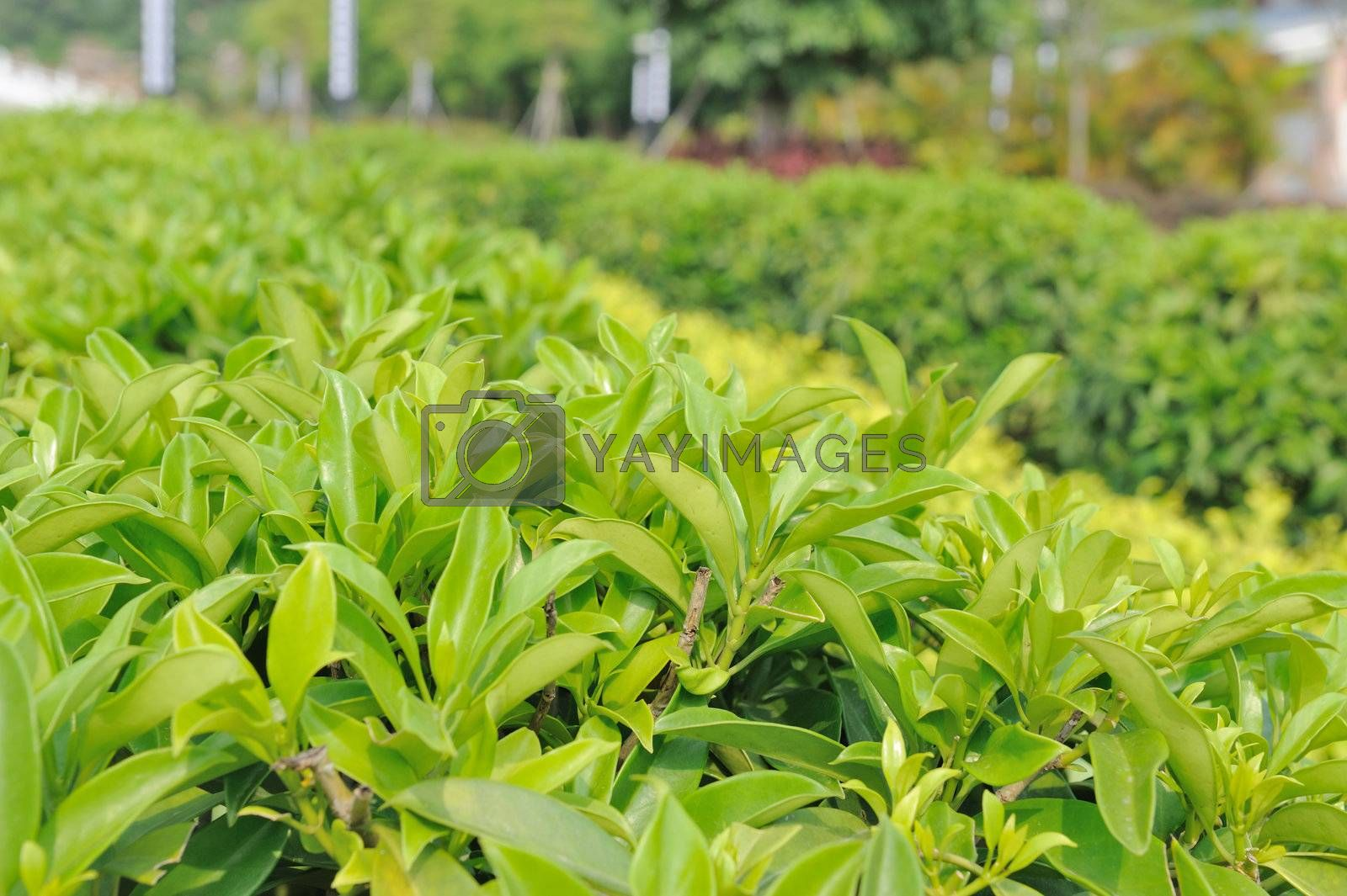 Detail view of green tea trees