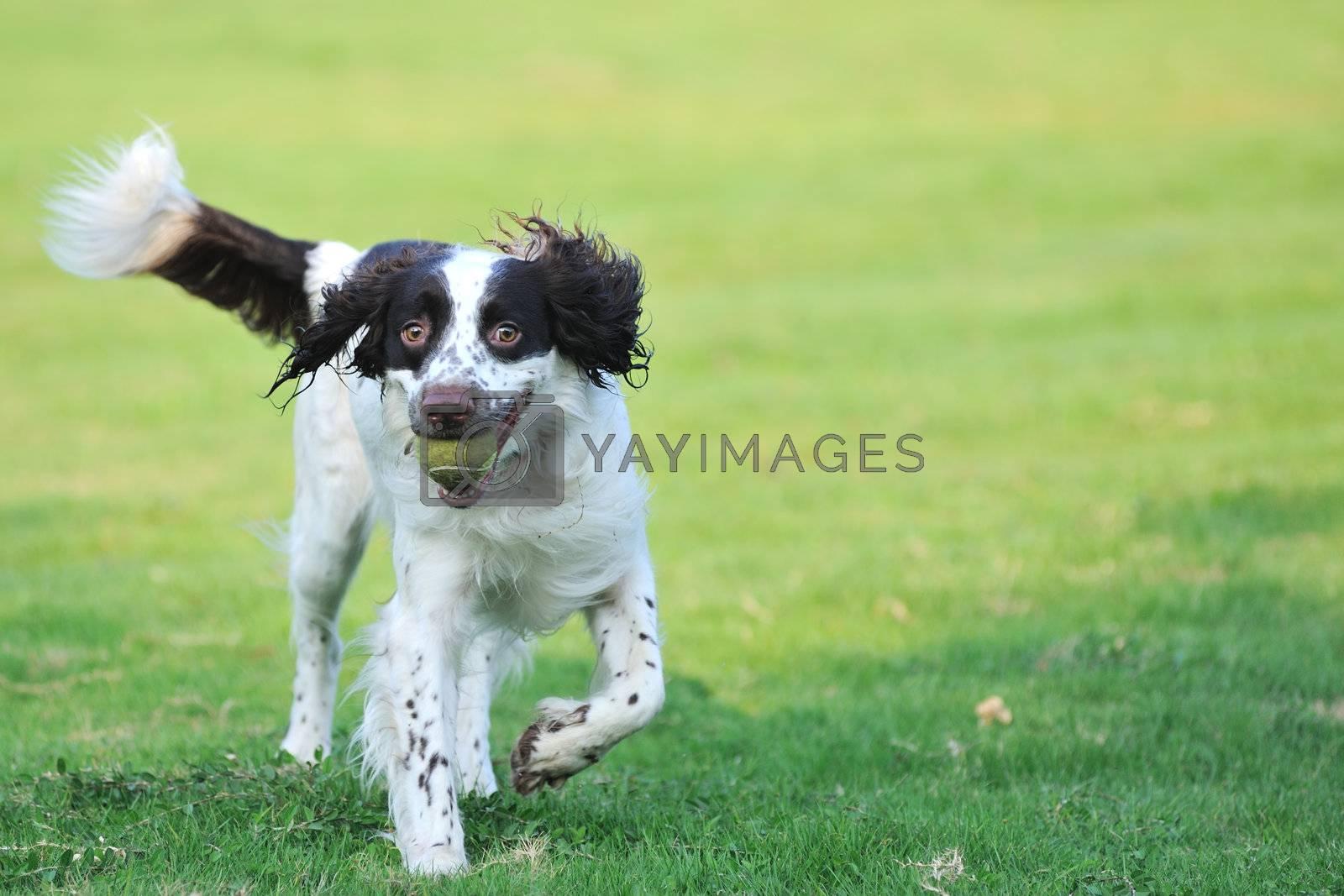 Springer dog running by raywoo