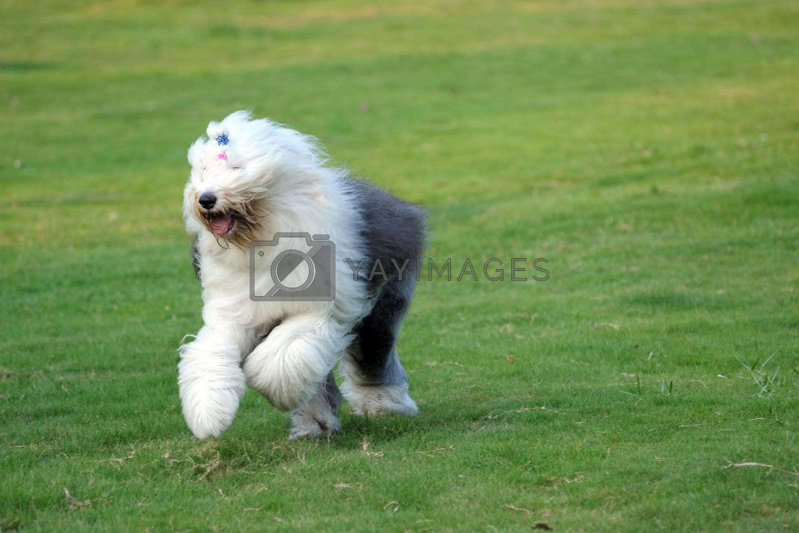 Old English sheepdog by raywoo