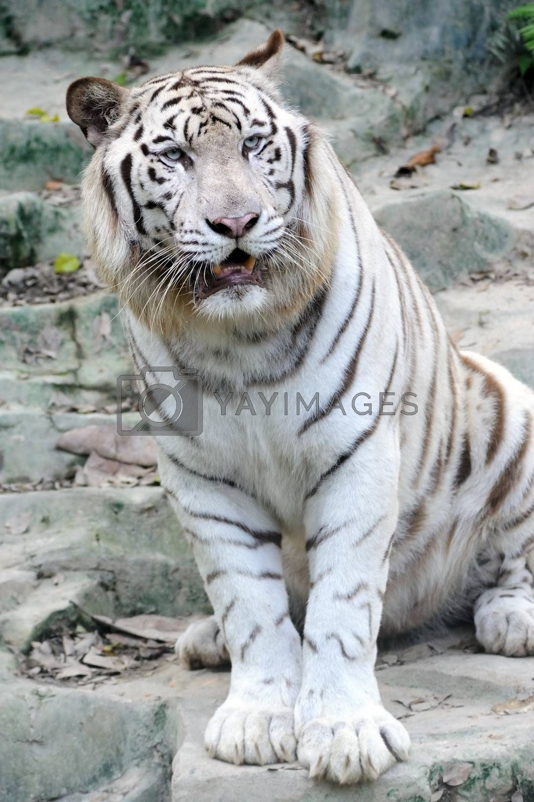 White tiger by raywoo
