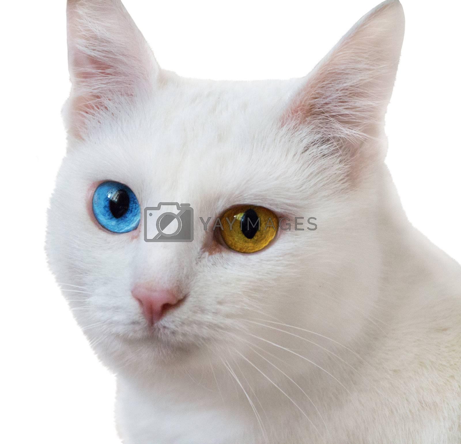 White Angora cat isolated on white background