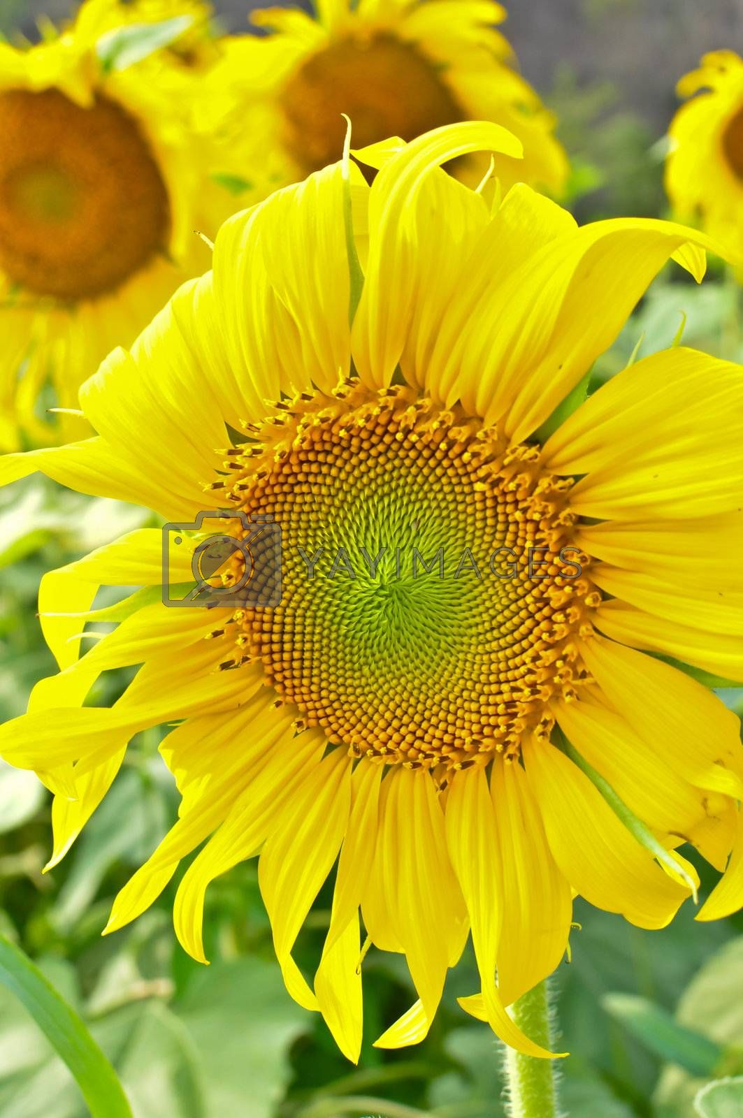 The vivid sun flower in the afternoon