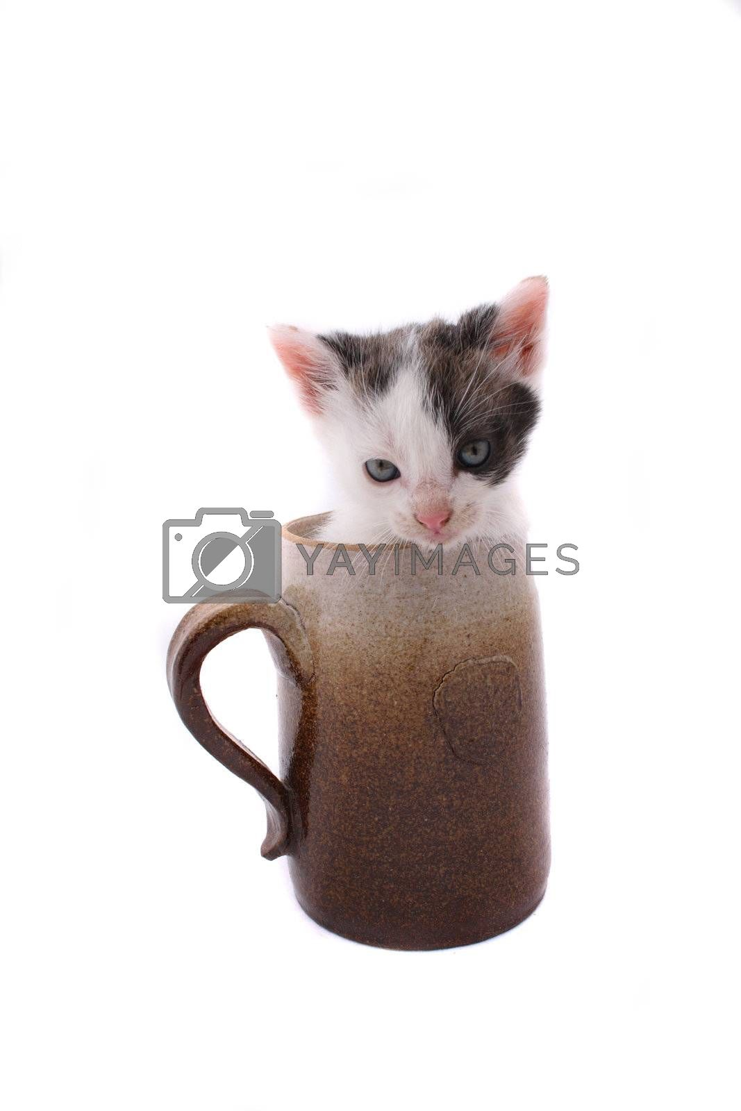small cat in the pot on the white background