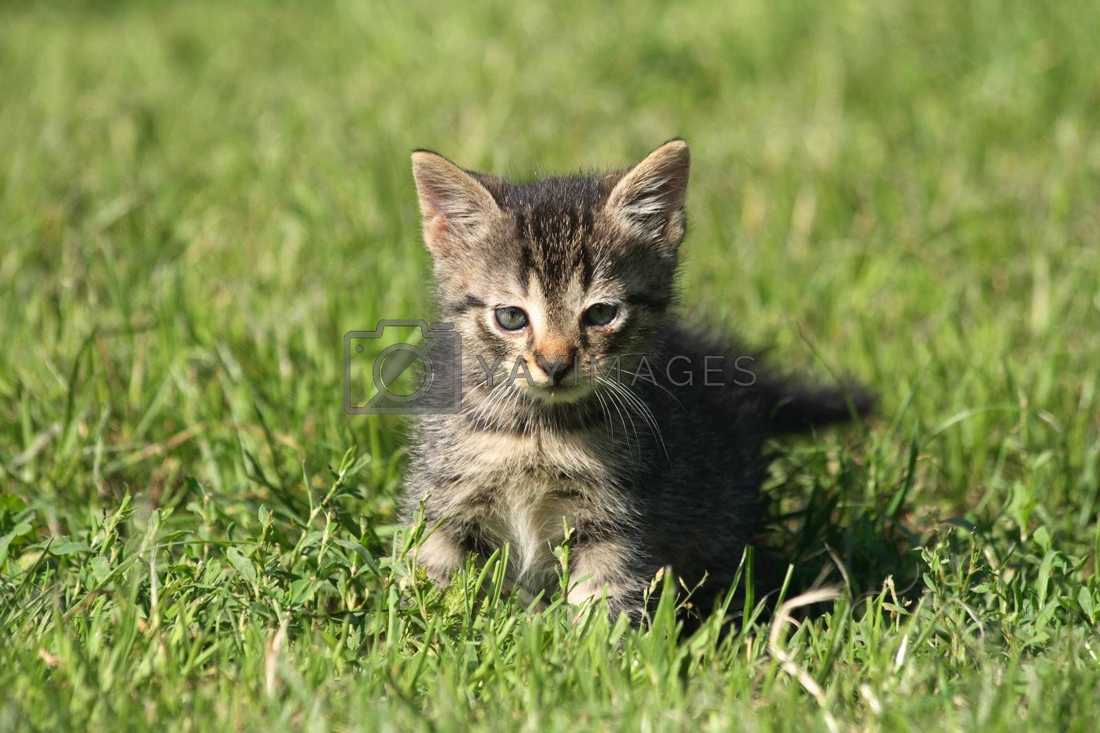 small gray cat in the green grass