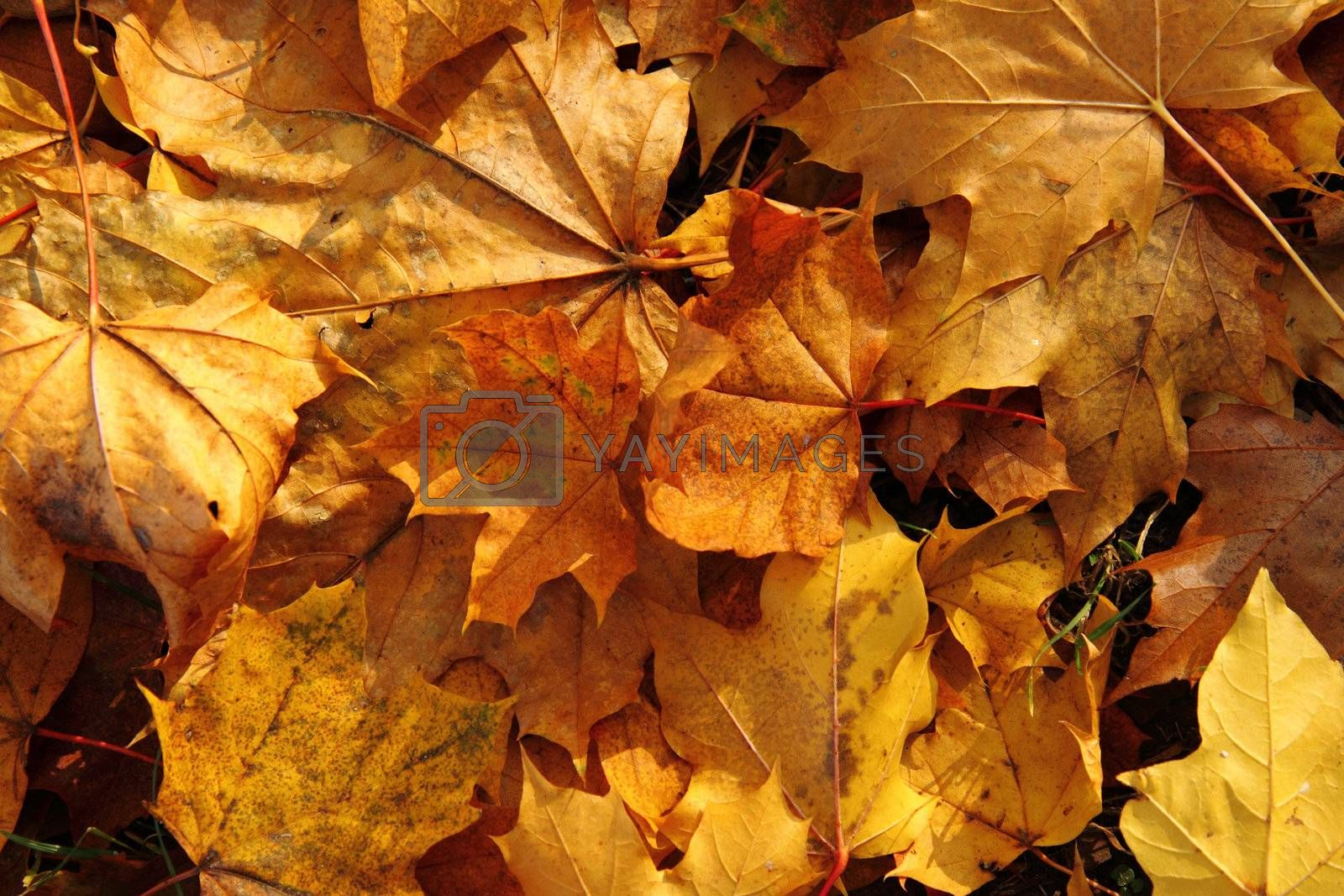 autumn leaves  as nice and natural season background