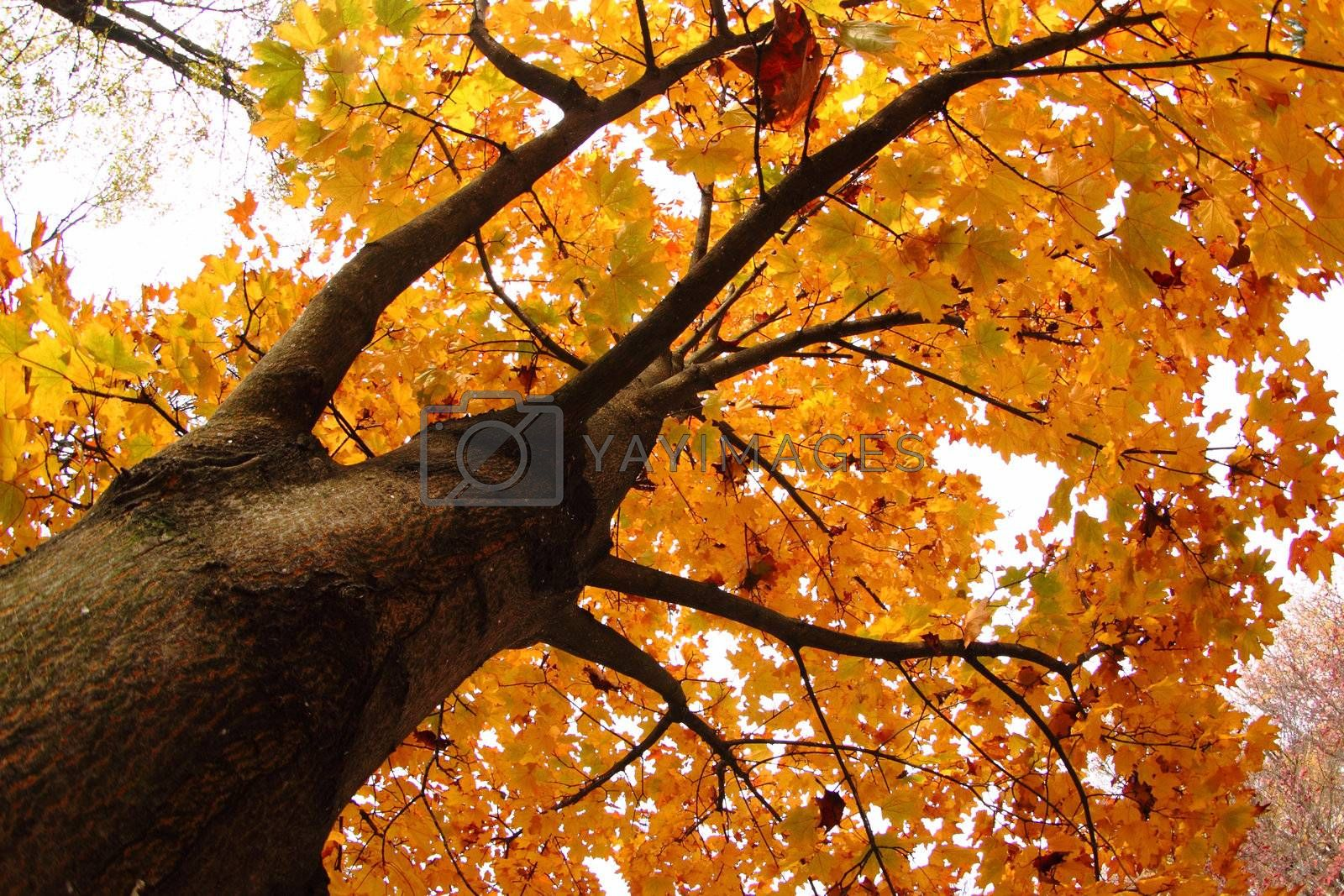 autumn tree as very nice natural background
