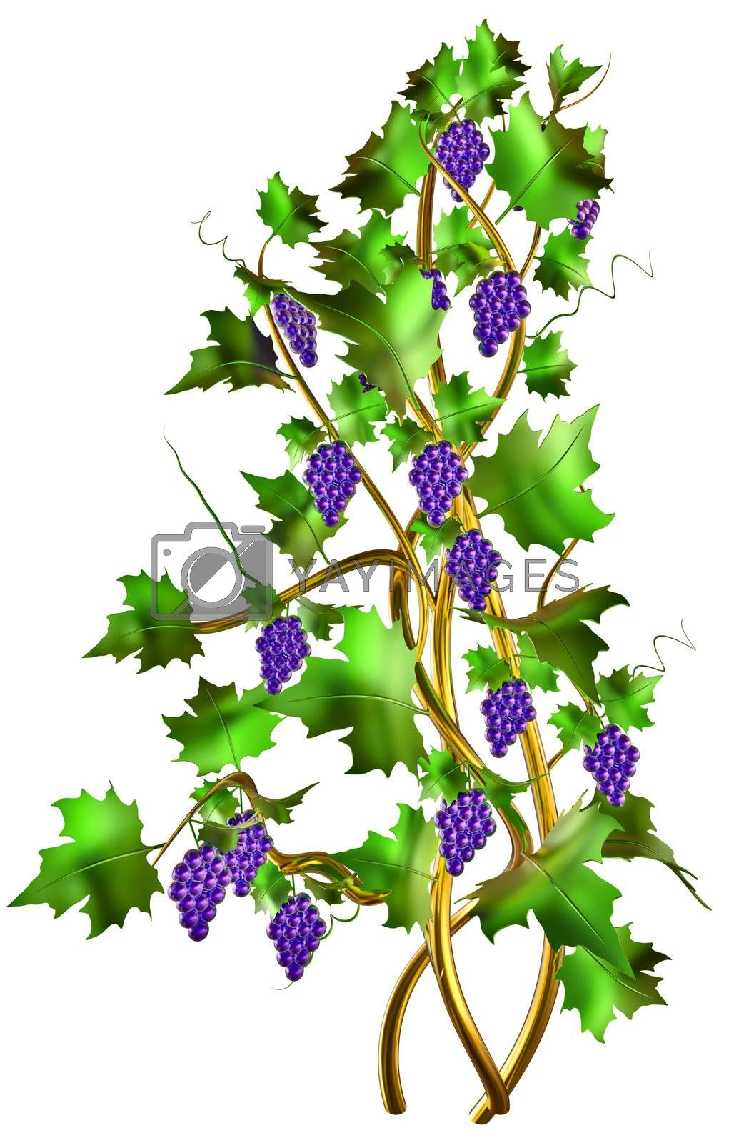Cabernet shrub with fresh purple blue grapes and green leaves on the vine is one of the world's most widely recognized grapes varieties for winemaking.