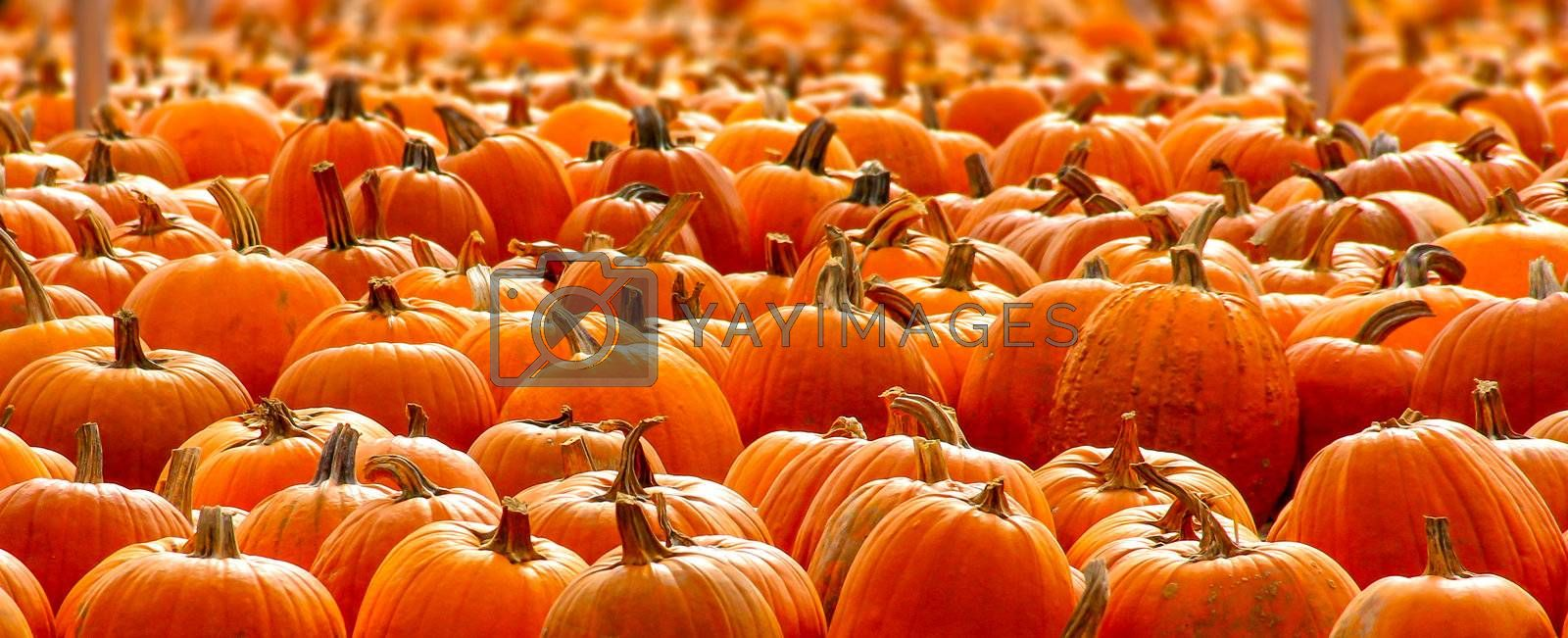Rows of Halloween Pumpkins Selectively Focused.