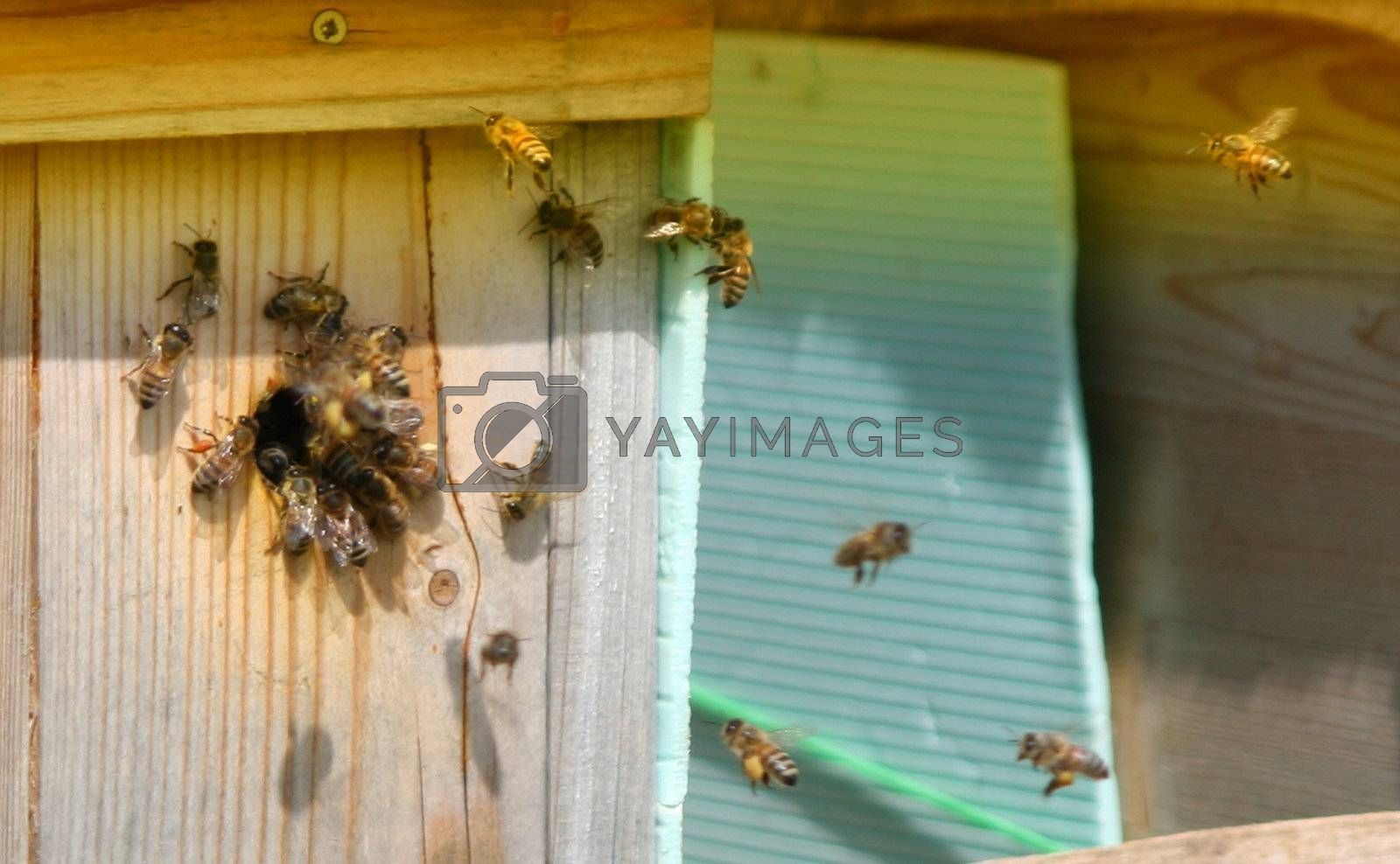 Bee, swarm, rural, risk, pollination, pollen, nectar, maintenance, lavoro, ispezionare, house, honey, hive, garden, food, farm, ecological, care, box, beekeeper, beehive, apiculture, apiary, api, all'aperto, agriculture, activity,