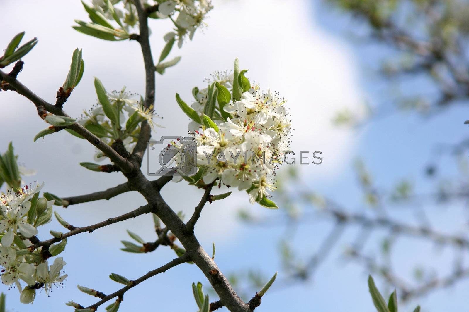 white flowers, branch, tree, peach, Wildflower, Wild springtime season, meadow, plant park, Outdoor, Nature, lush, leaf, meadow, blossom, blooming, growing, green, grass, garden fresh flowers, flowerbed, flower, floral, wildflower, grass , environment, colorful,