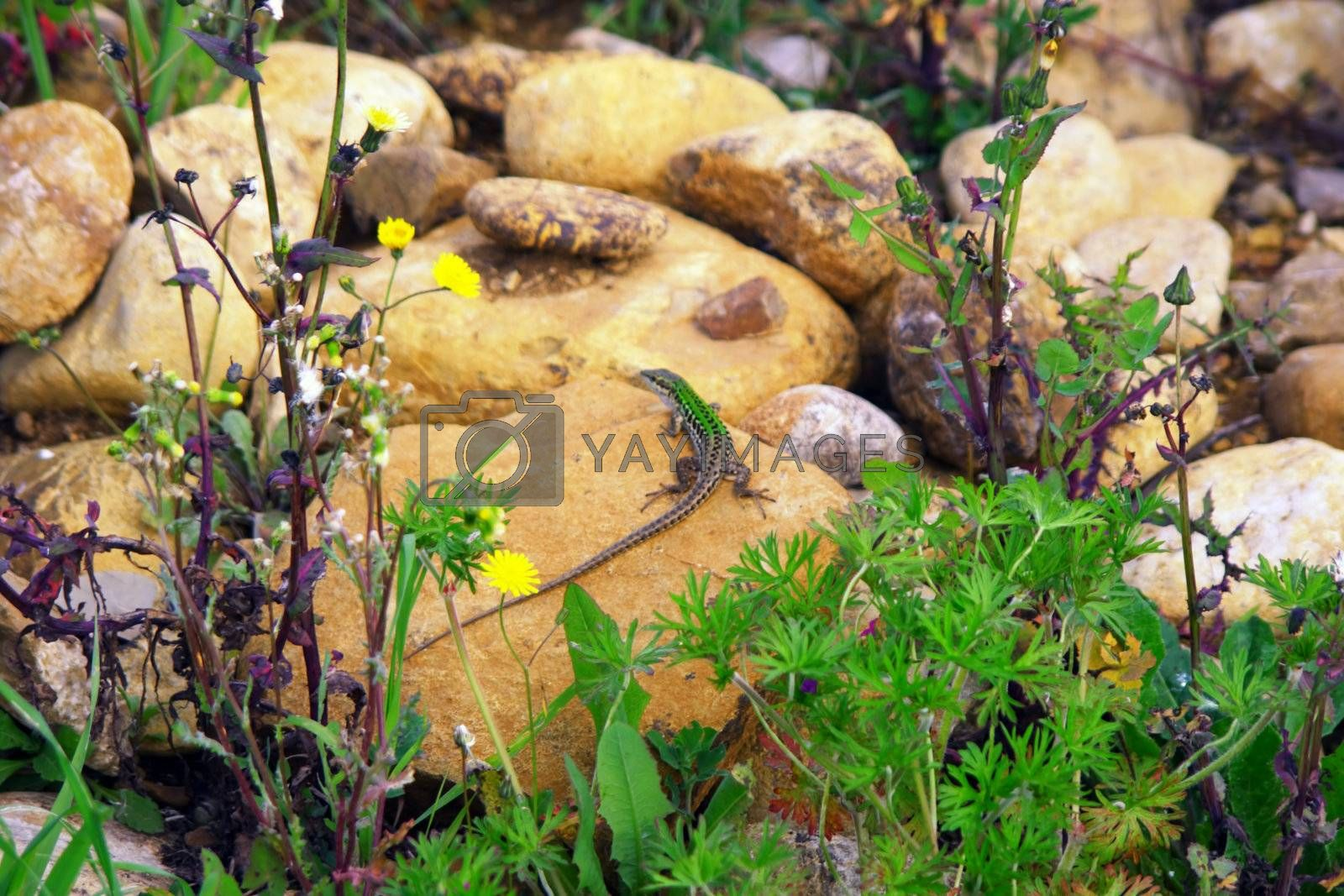 Lizard, wildlife, wild, ground, tail, sun, stone, rock, reptile, quick, kind, unassuming, macro, gray, green, lawn,
