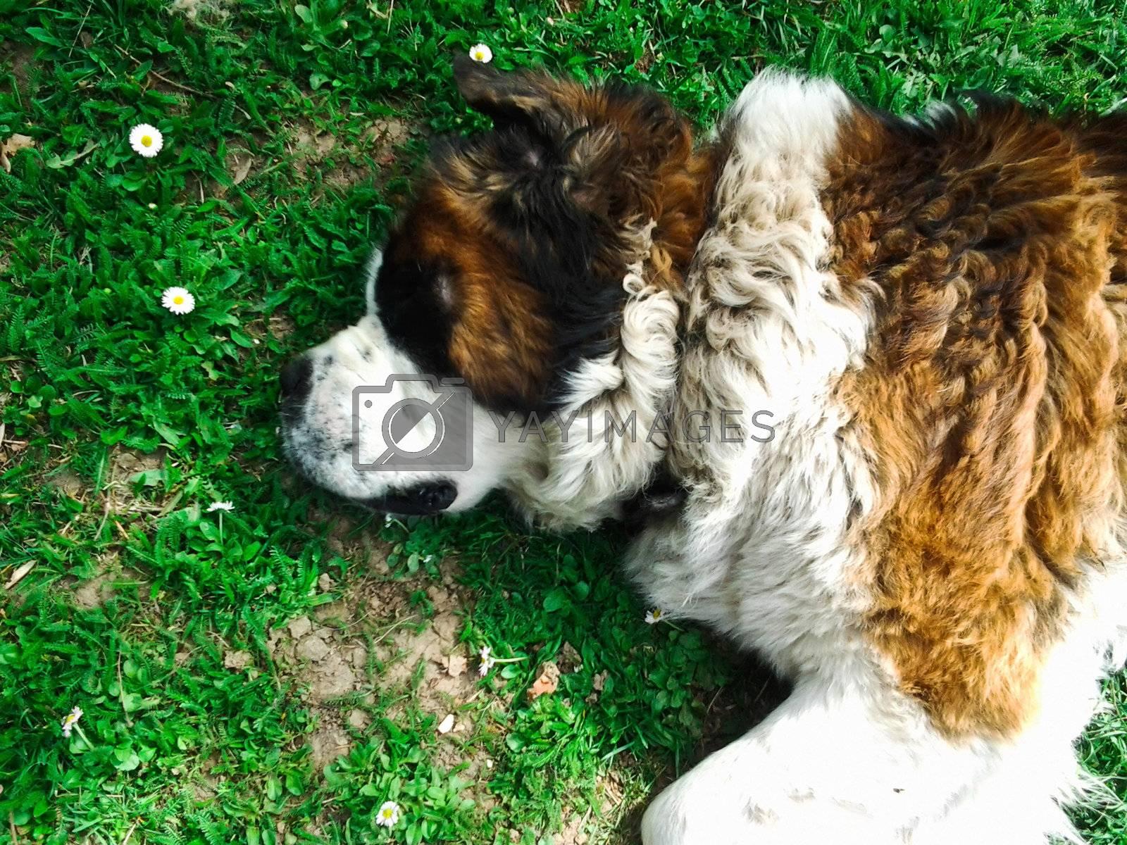 Beautiful Saint Bernard dog