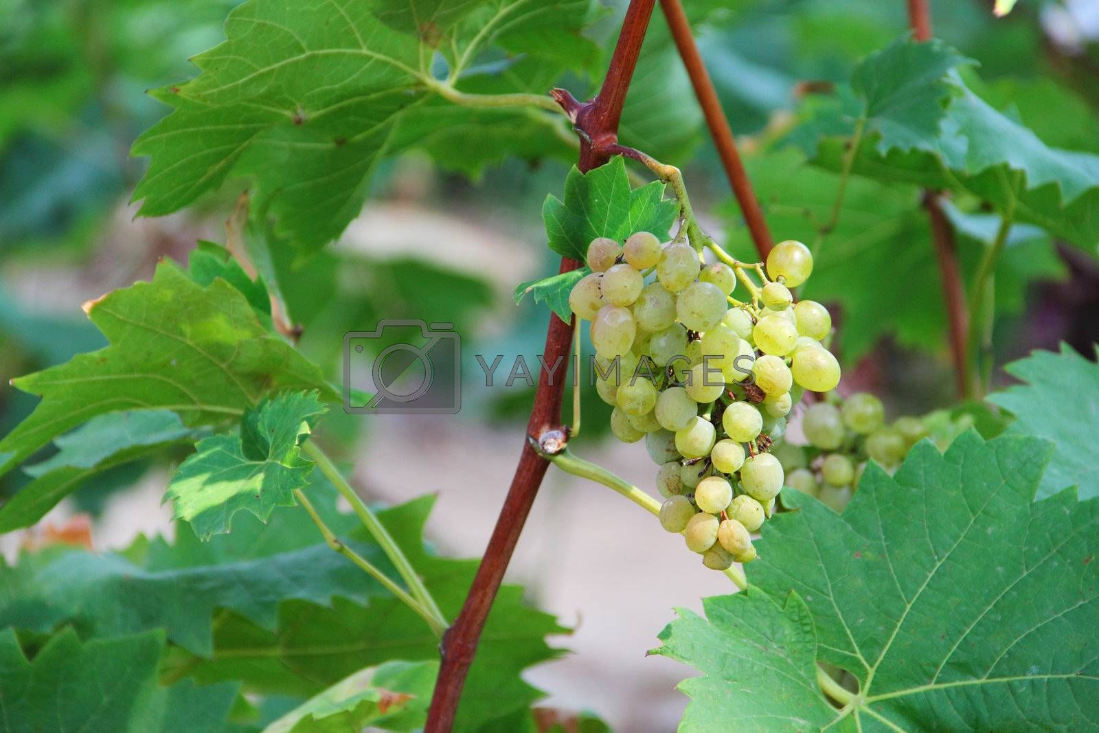 White grapes in the vineyard close up