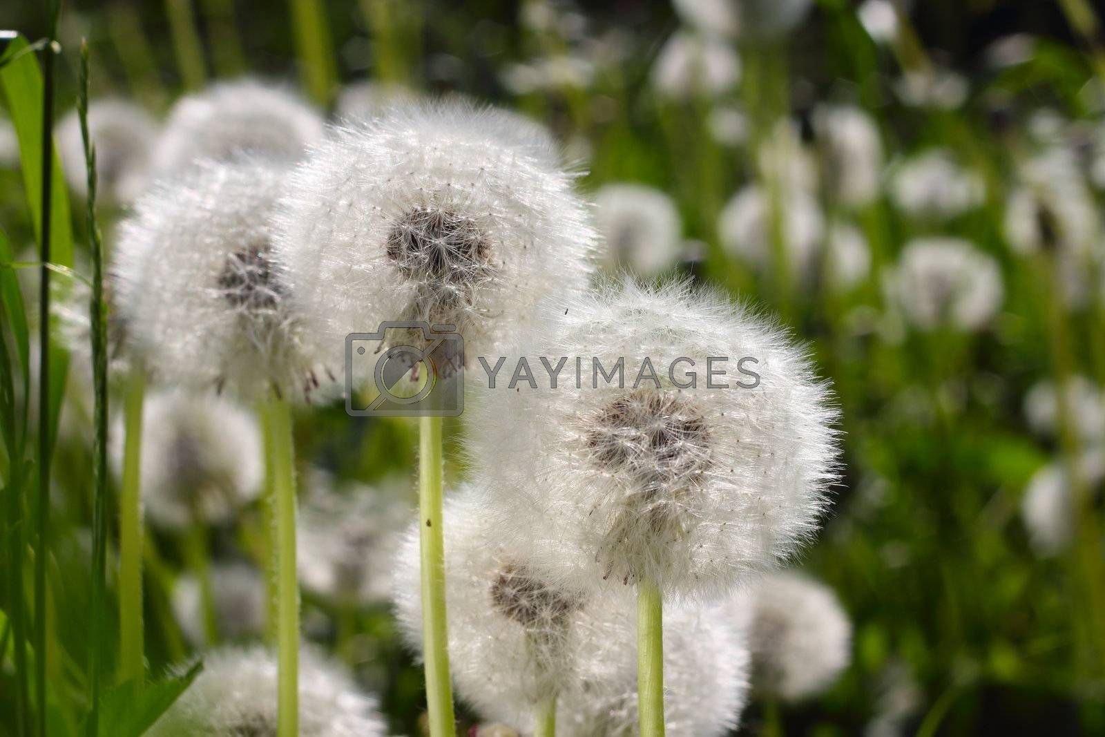 Spring dandelions and green grass macro close up