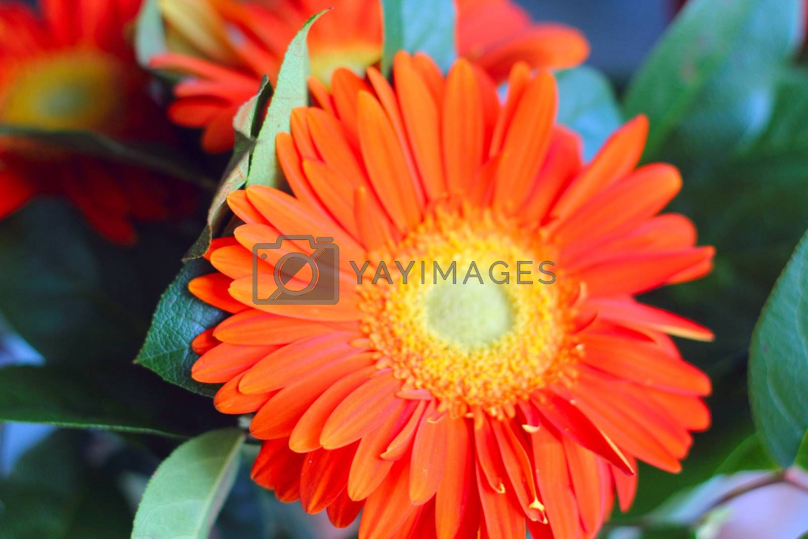 Beautiful red gerbera bouquet close up