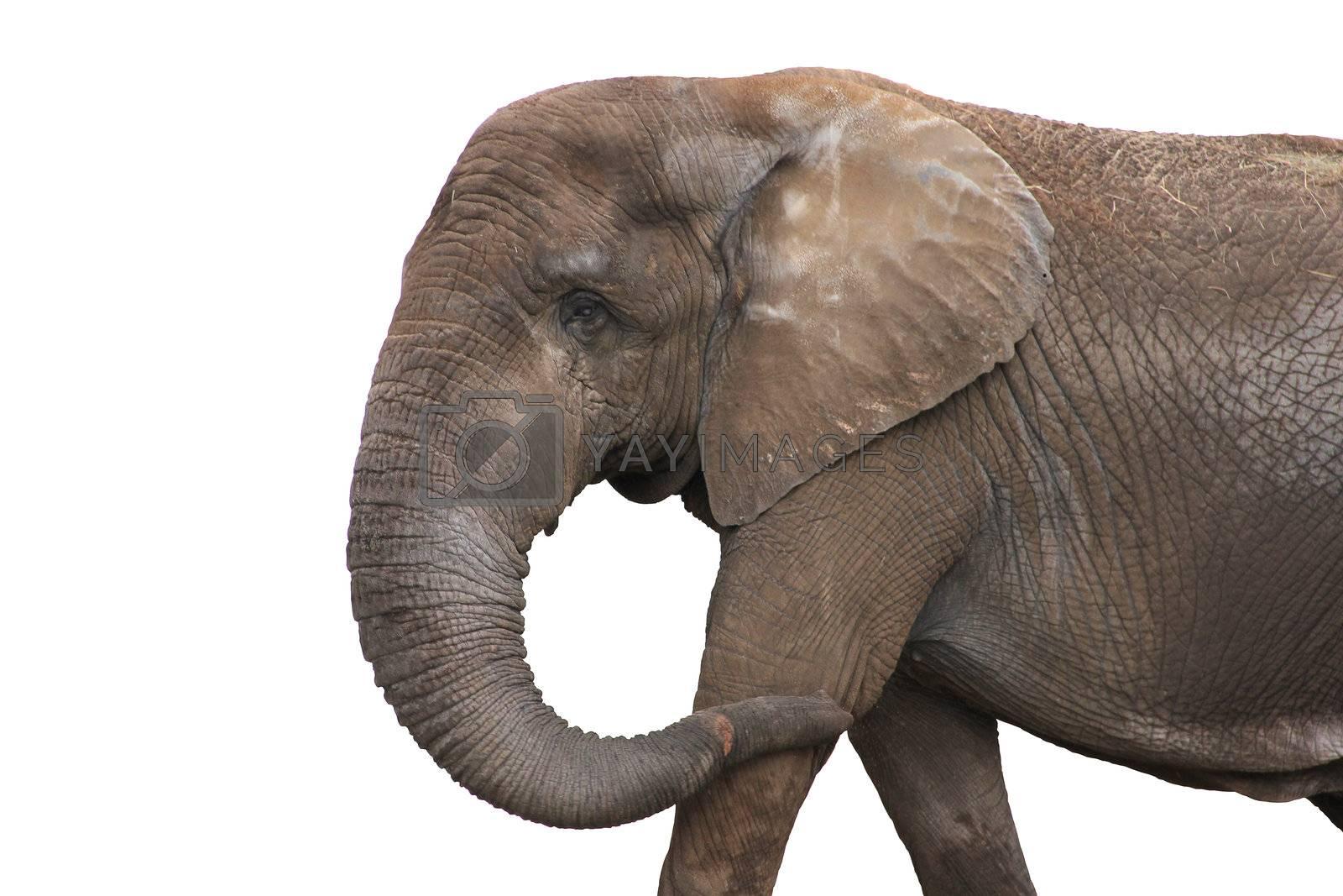Adult walking elephant isolated on white background