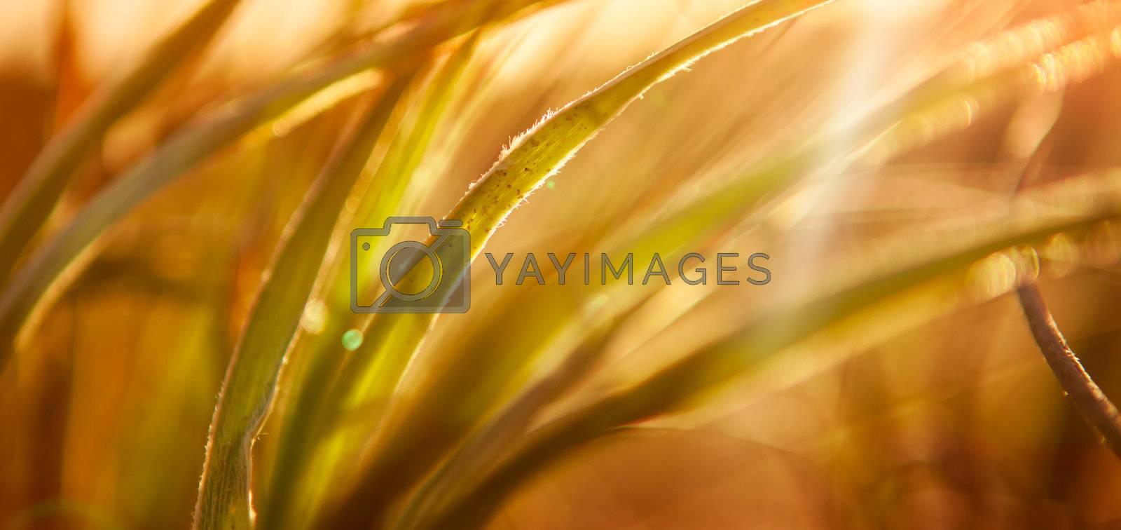 Sun shines through grass in rural Australia
