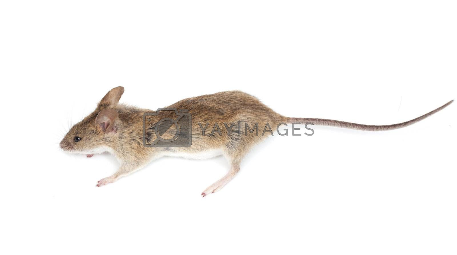 mouse on a white background
