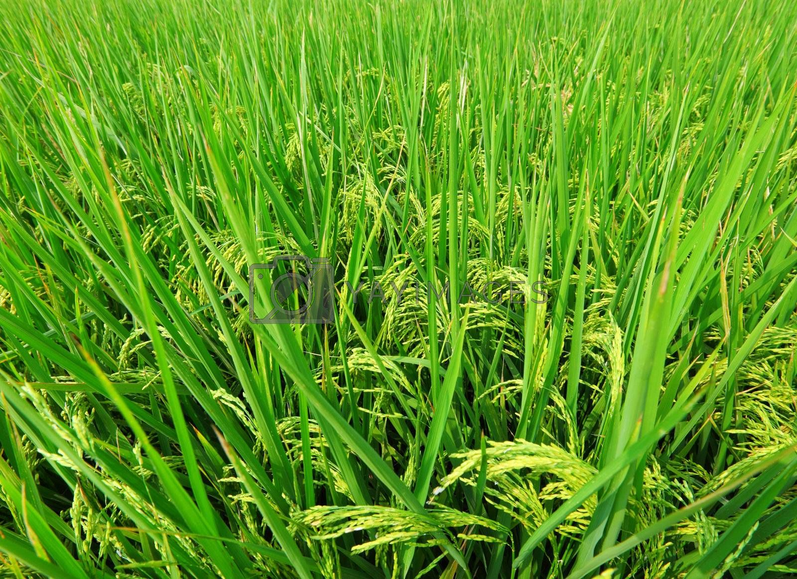 Asia paddy field