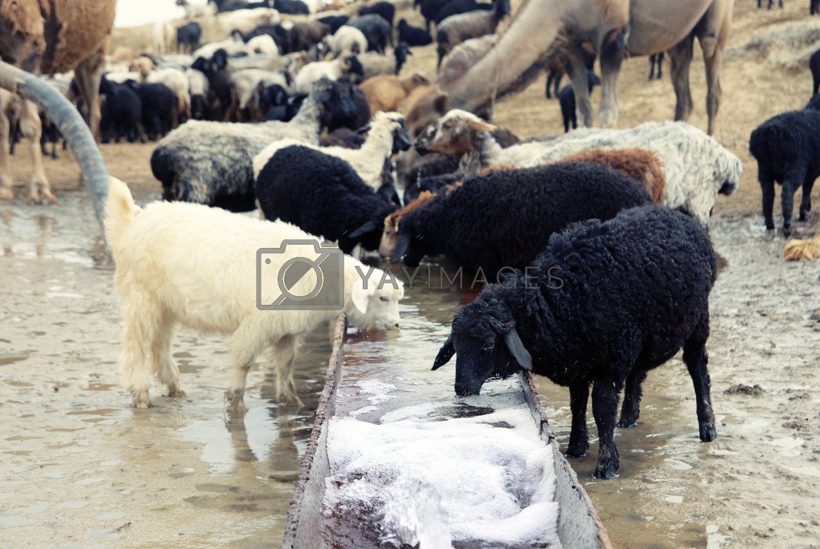 Sheep drinking at the watering place. Middle Asia. Natural light and colors