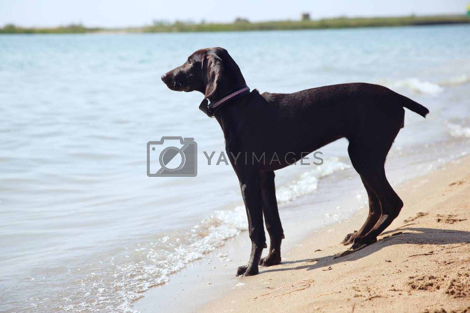 Single young dog standing near the river and waiting for the master. Natural colors and light