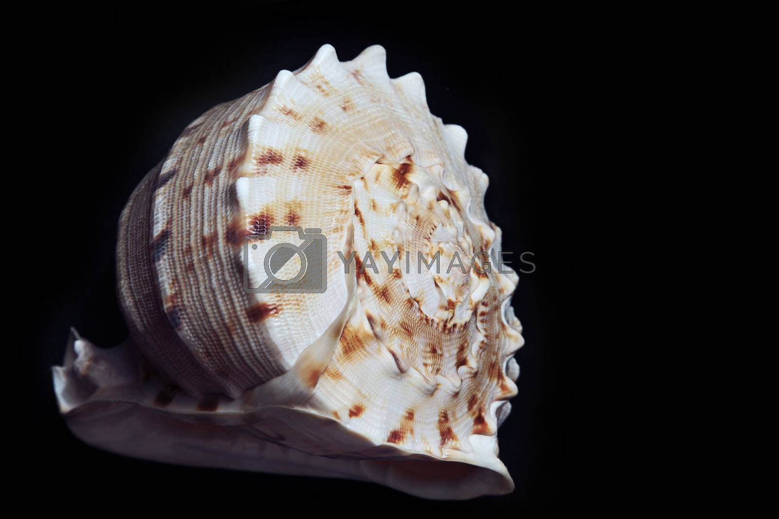 Close-up photo of the seashell on a dark background