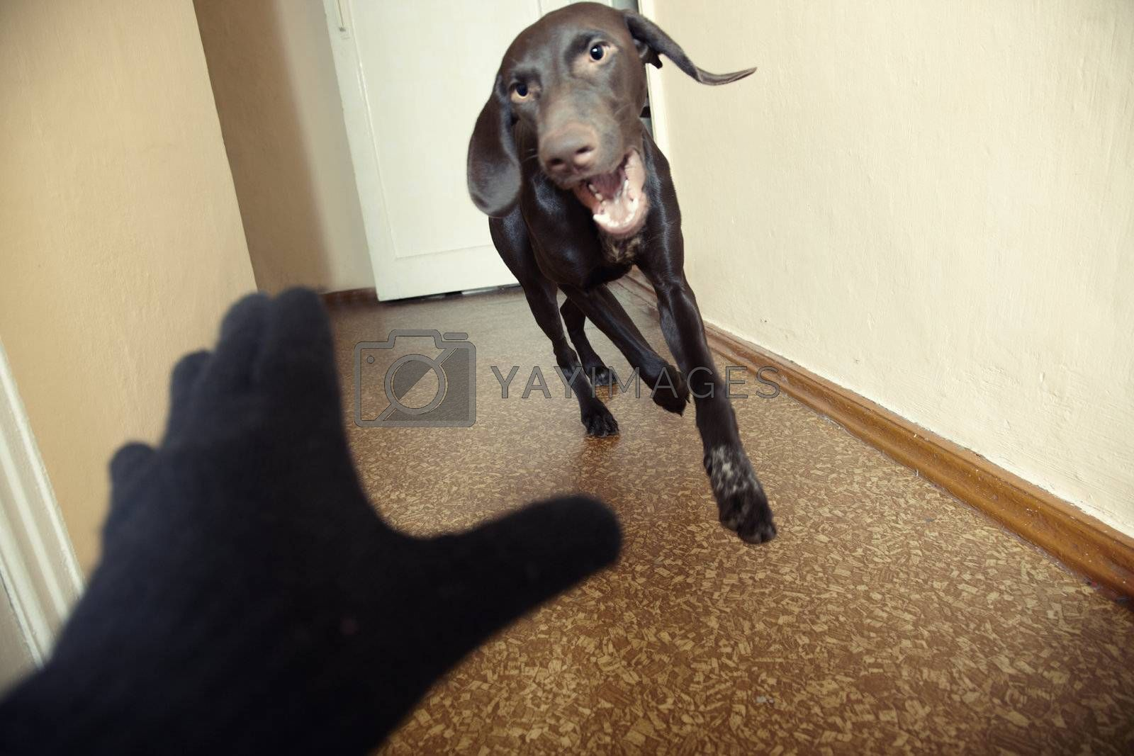 Dog attacking thief in black gloves. Natural light and colors. Motion blur added for dynamics effect