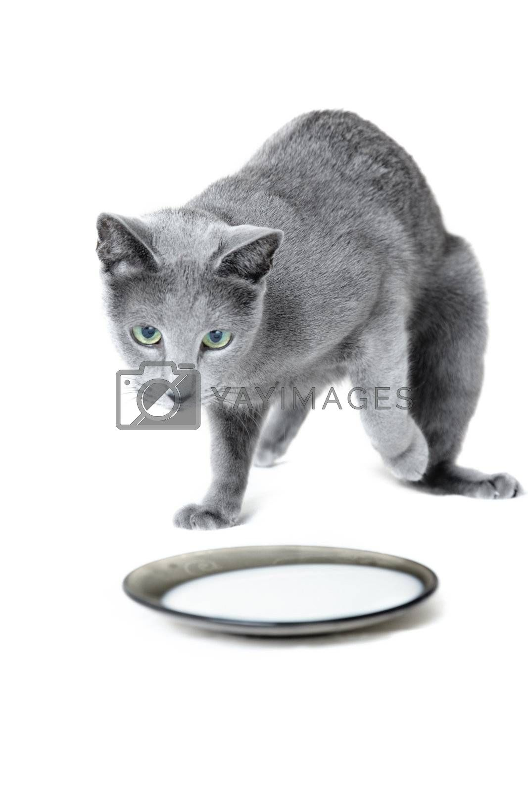 Russian blue cat near the plate with milk on a white background