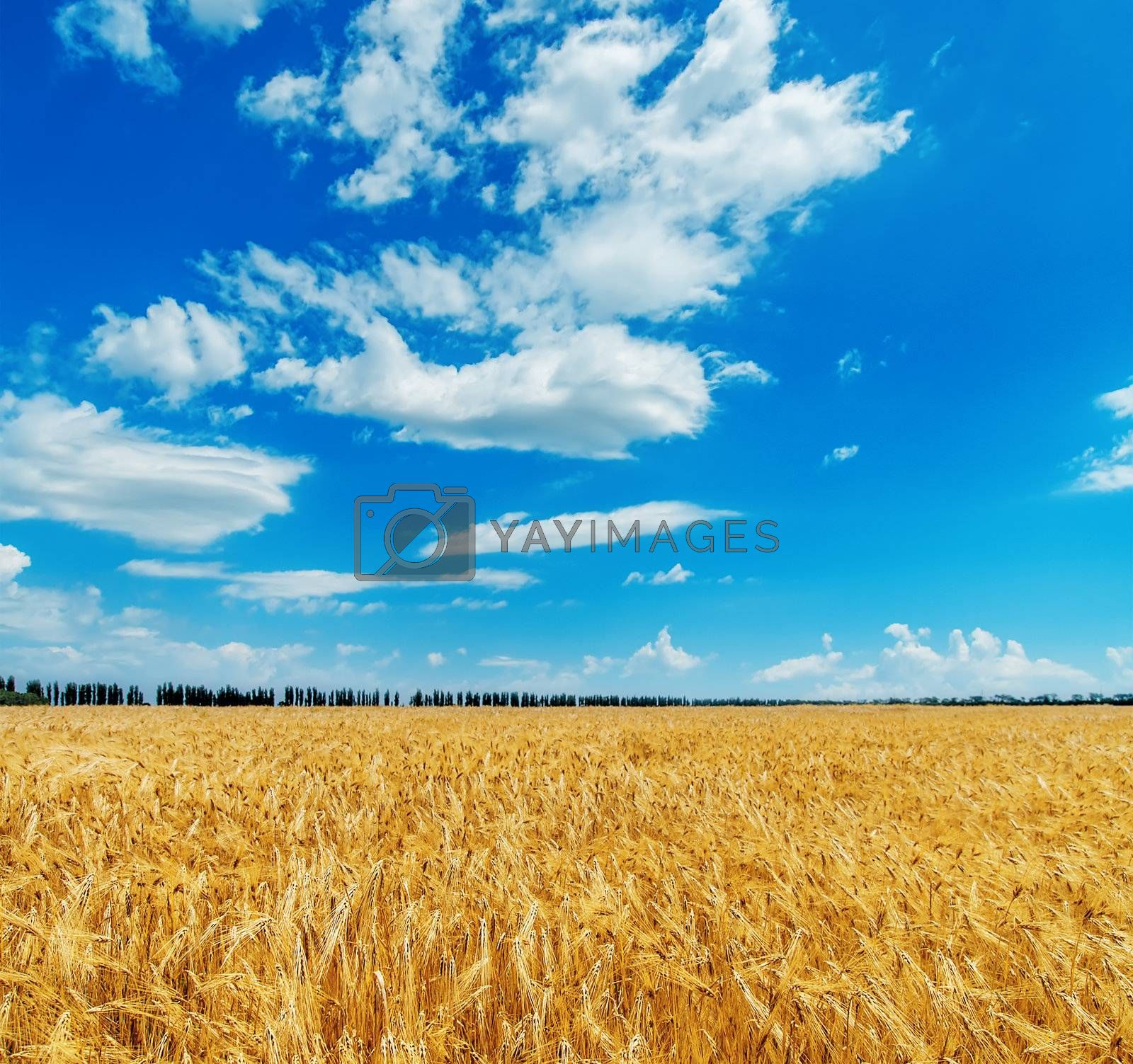 blue cloudy sky over golden field with barley