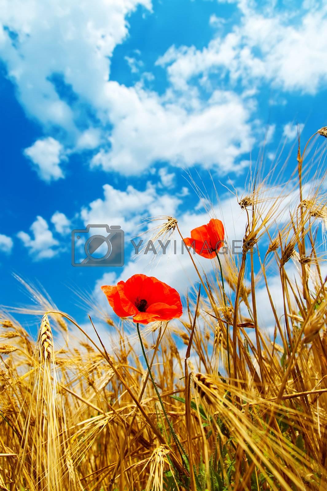 red poppy in golden field