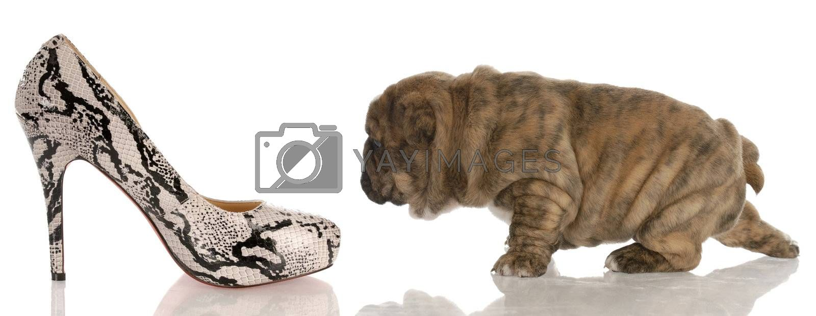 four week old english bulldog puppy sneaking up on woman's high heeled shoes