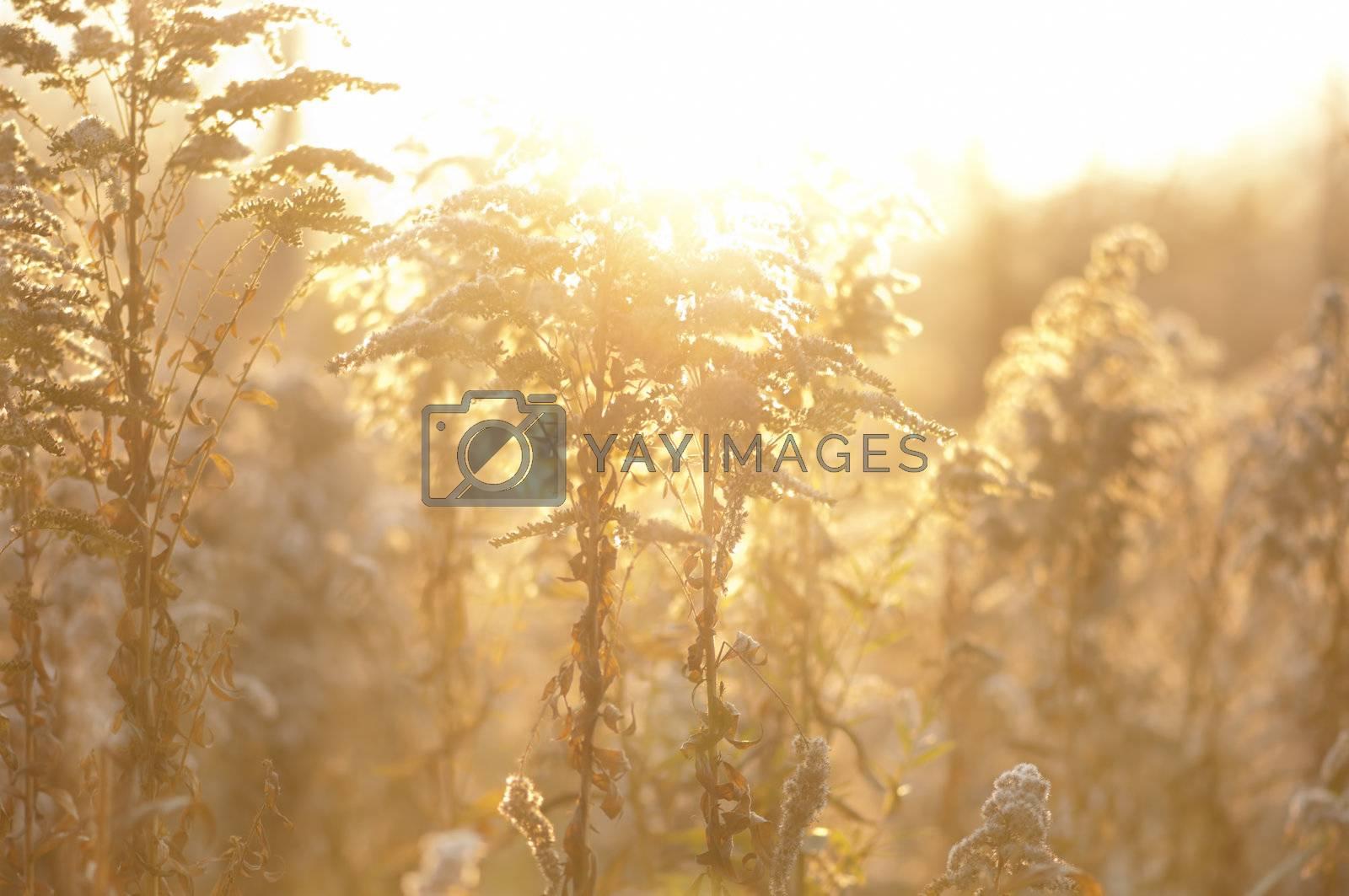 Autumn grass in sunset rays. Yellow