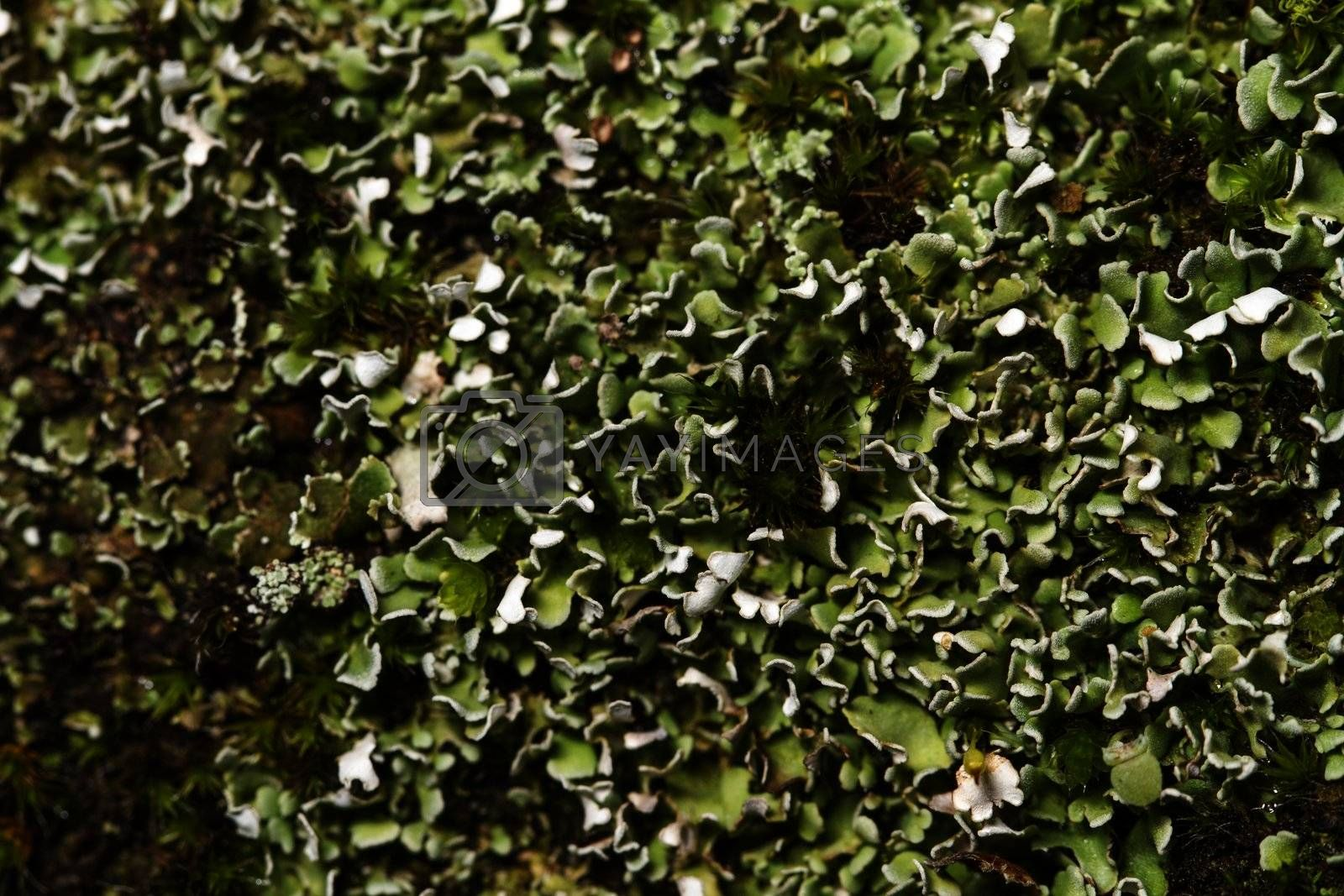 Close up view of some dry lichen on a tree.