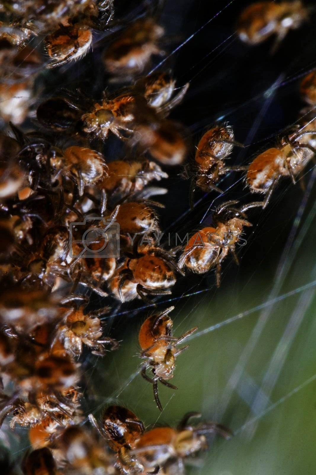 Close up view of many spider babies on a web.