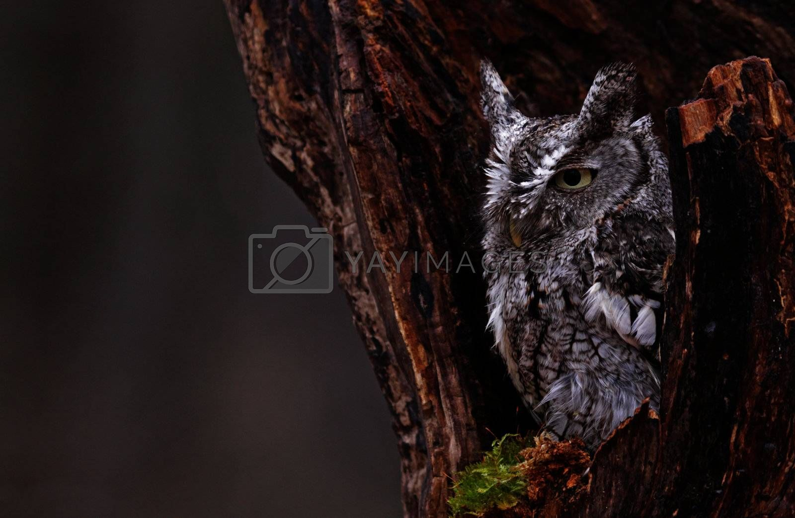 A close-up of an Eastern Screech Owl (Megascops asio) sitting in a stump.
