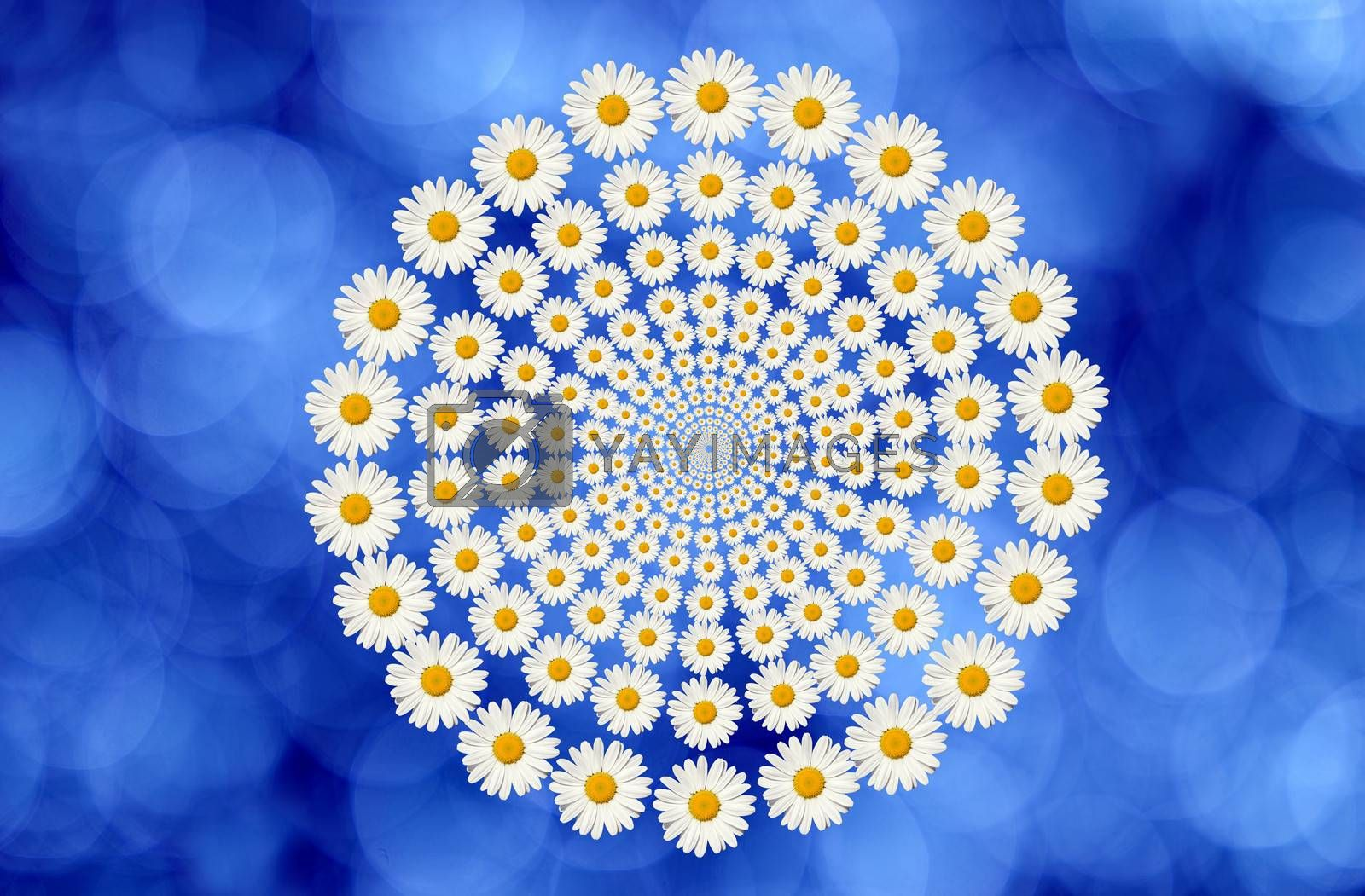 daisies circle on blue background
